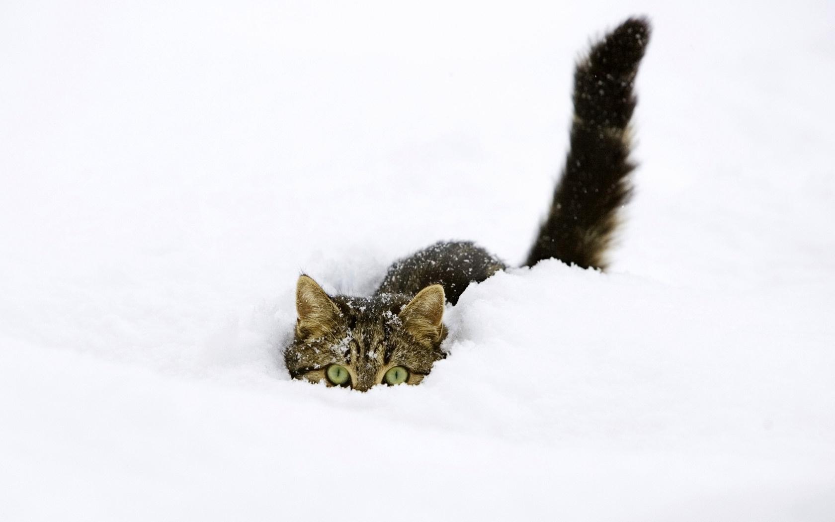 43642 скачать Белые обои на телефон бесплатно, Животные, Зима, Кошки (Коты, Котики), Снег Белые картинки и заставки на мобильный