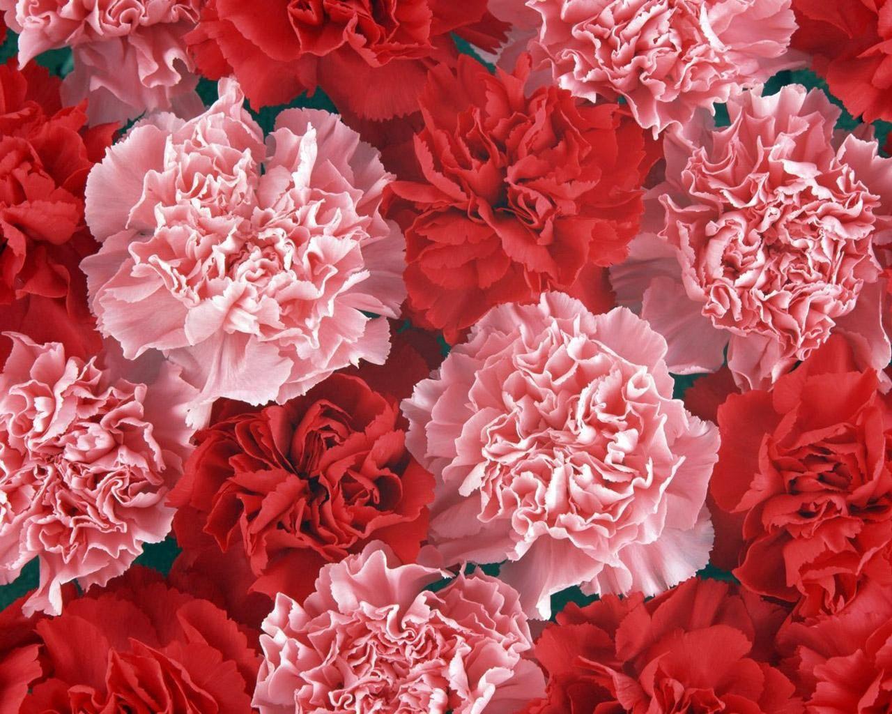 72137 Заставки и Обои Гвоздики на телефон. Скачать Цветы, Гвоздики, Бутоны, Розовые картинки бесплатно