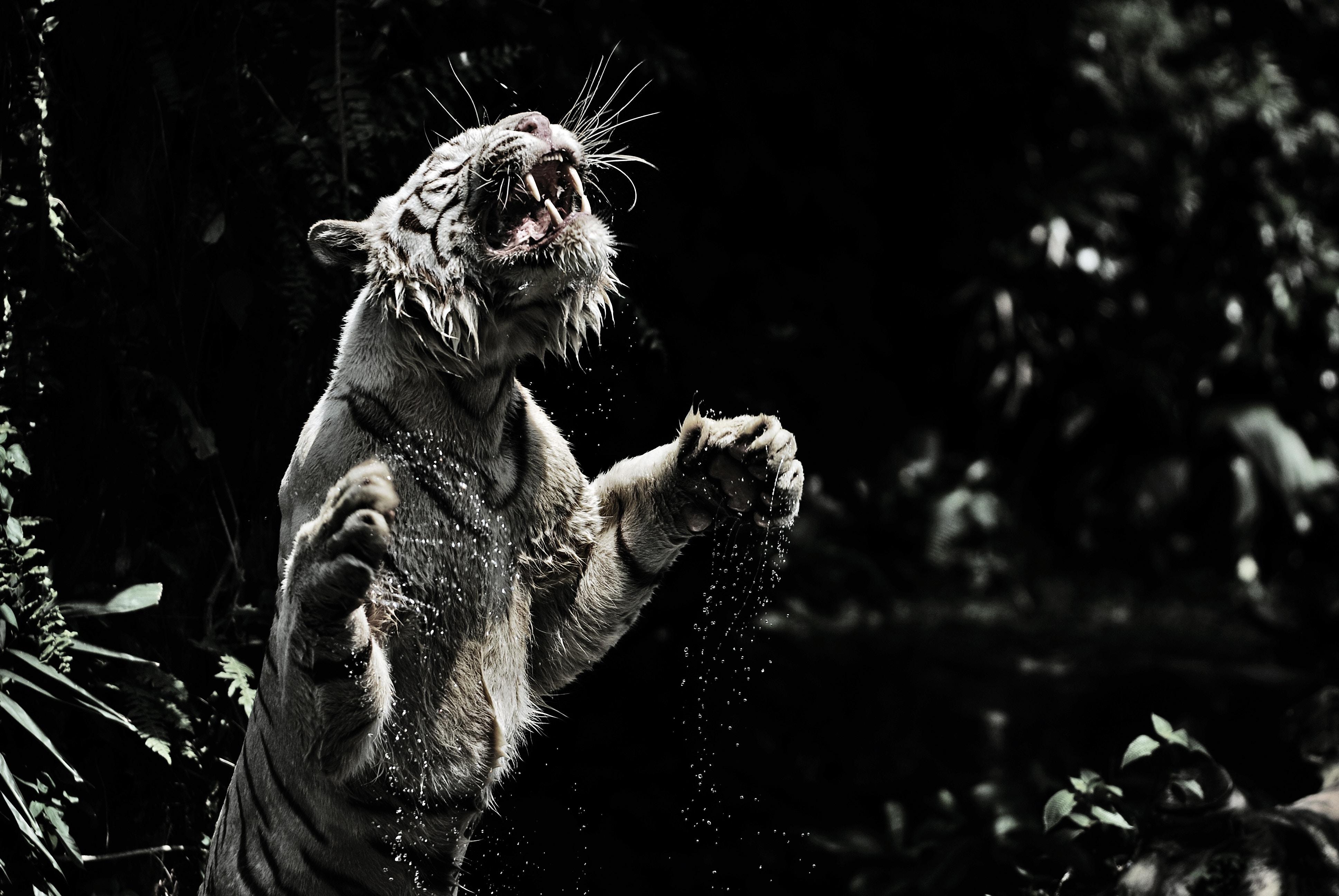 Beliebte Weißer Tiger Bilder für Mobiltelefone