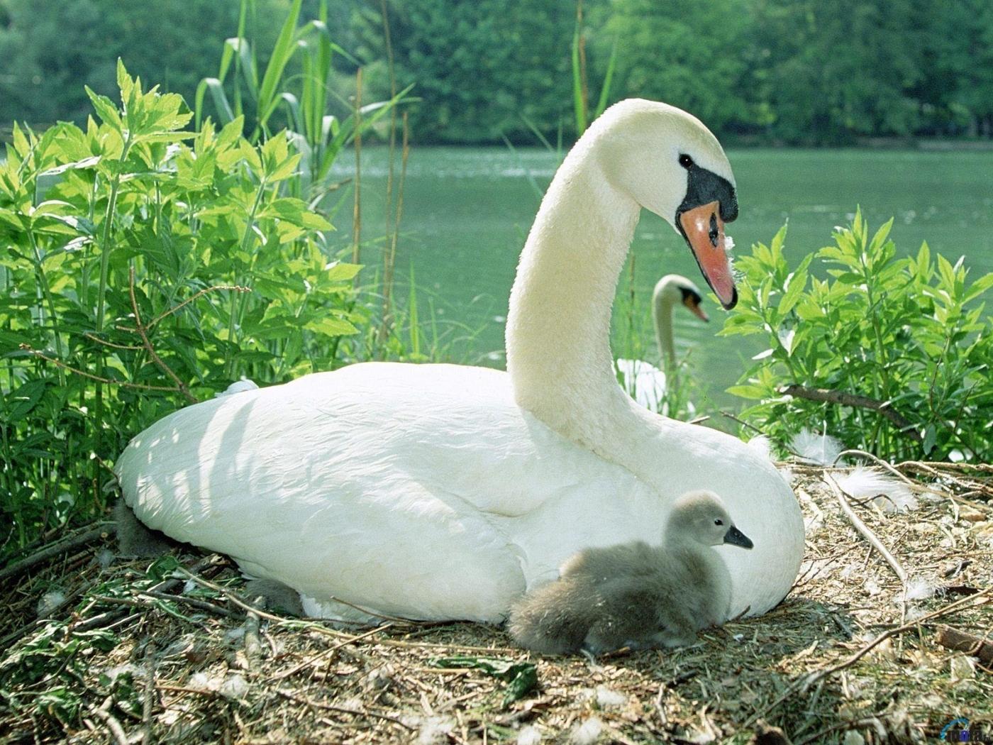 Handy-Wallpaper Tiere, Vögel, Swans kostenlos herunterladen.