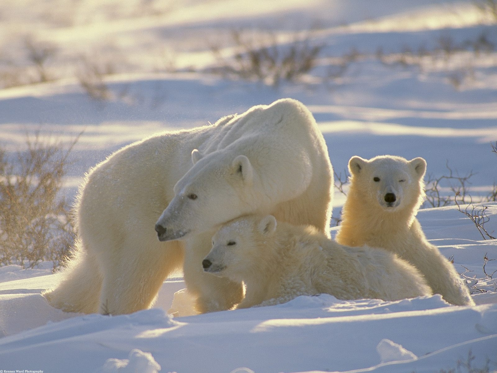 5586 download wallpaper Animals, Winter, Bears screensavers and pictures for free