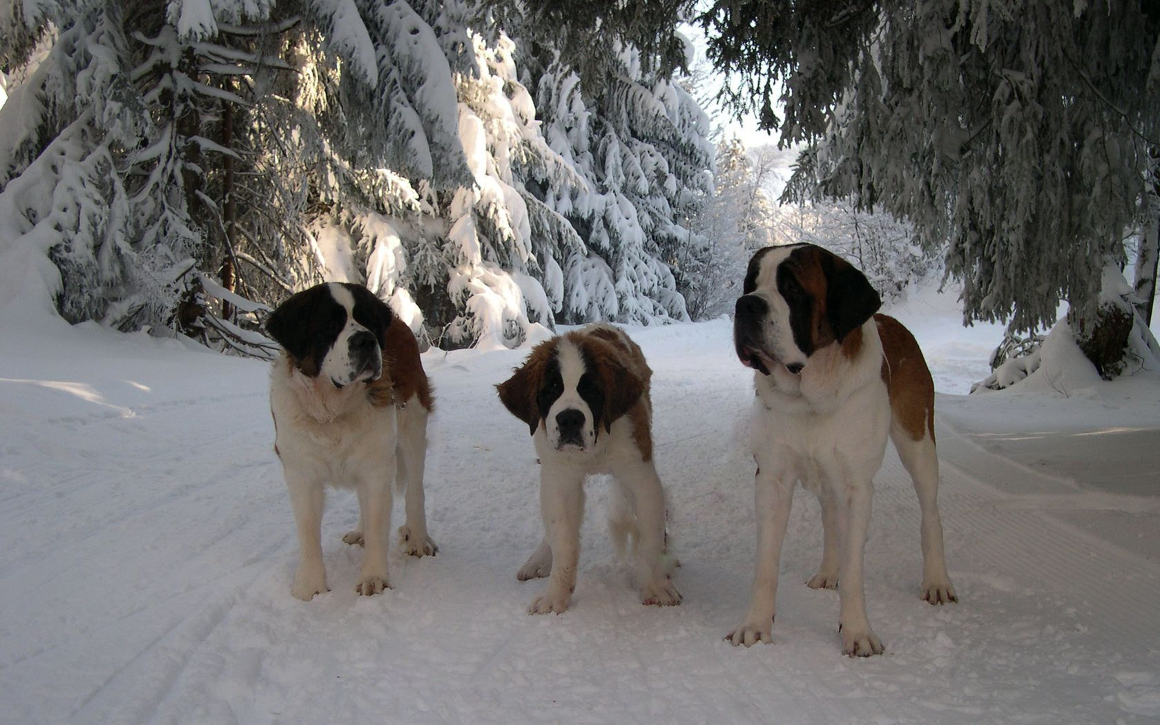 94291 Screensavers and Wallpapers Puppy for phone. Download Animals, Snow, Road, Stroll, Family, Puppy, St. Bernard, St. Bernards pictures for free