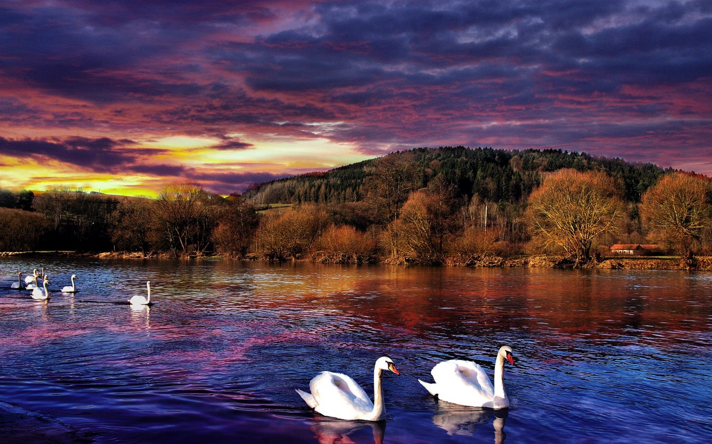 23151 скачать обои Пейзаж, Птицы, Деревья, Лебеди, Озера - заставки и картинки бесплатно