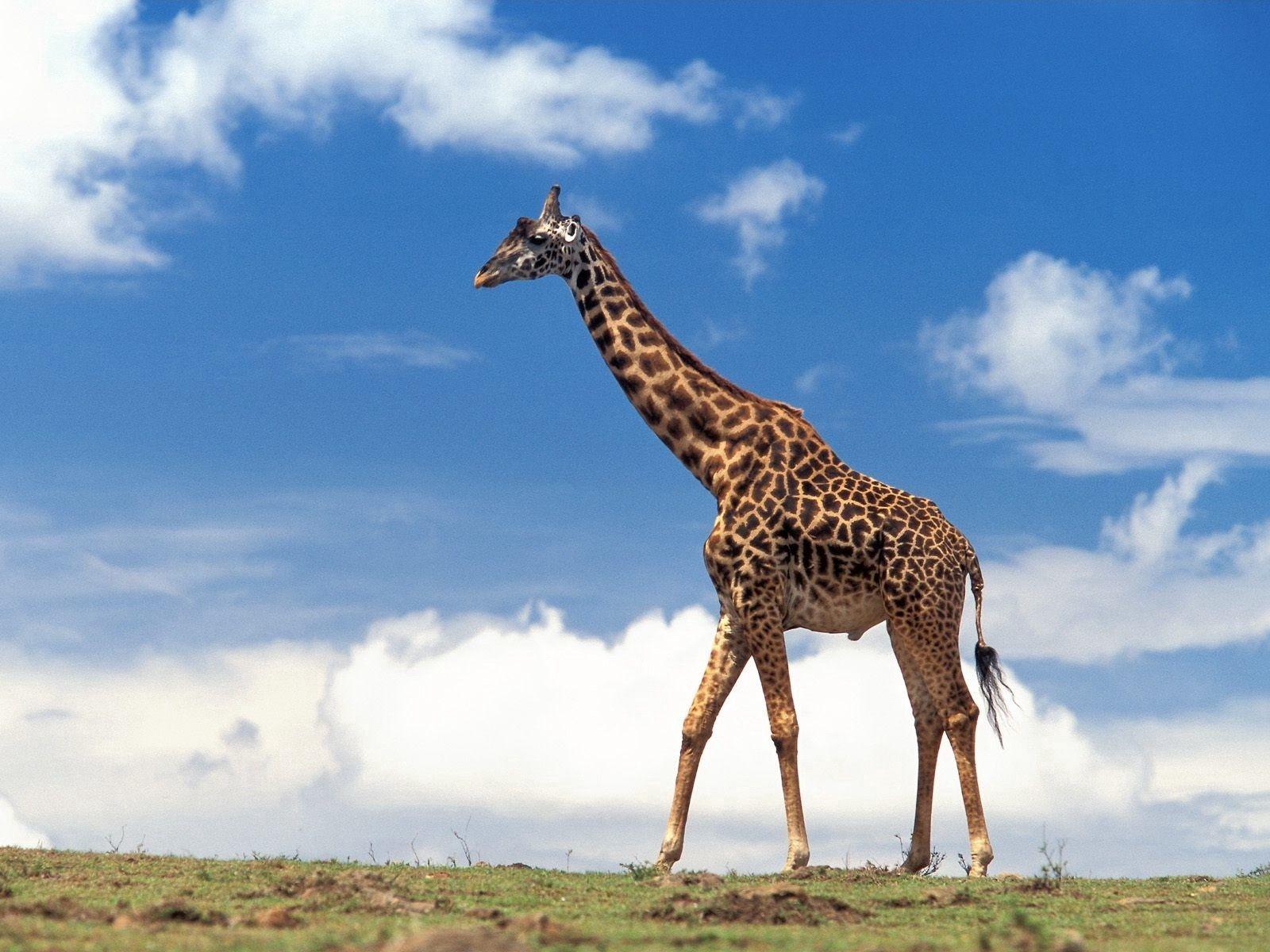 123901 免費下載壁紙 动物, 长颈鹿, 草, 天空, 云, 漫步, 步行 屏保和圖片