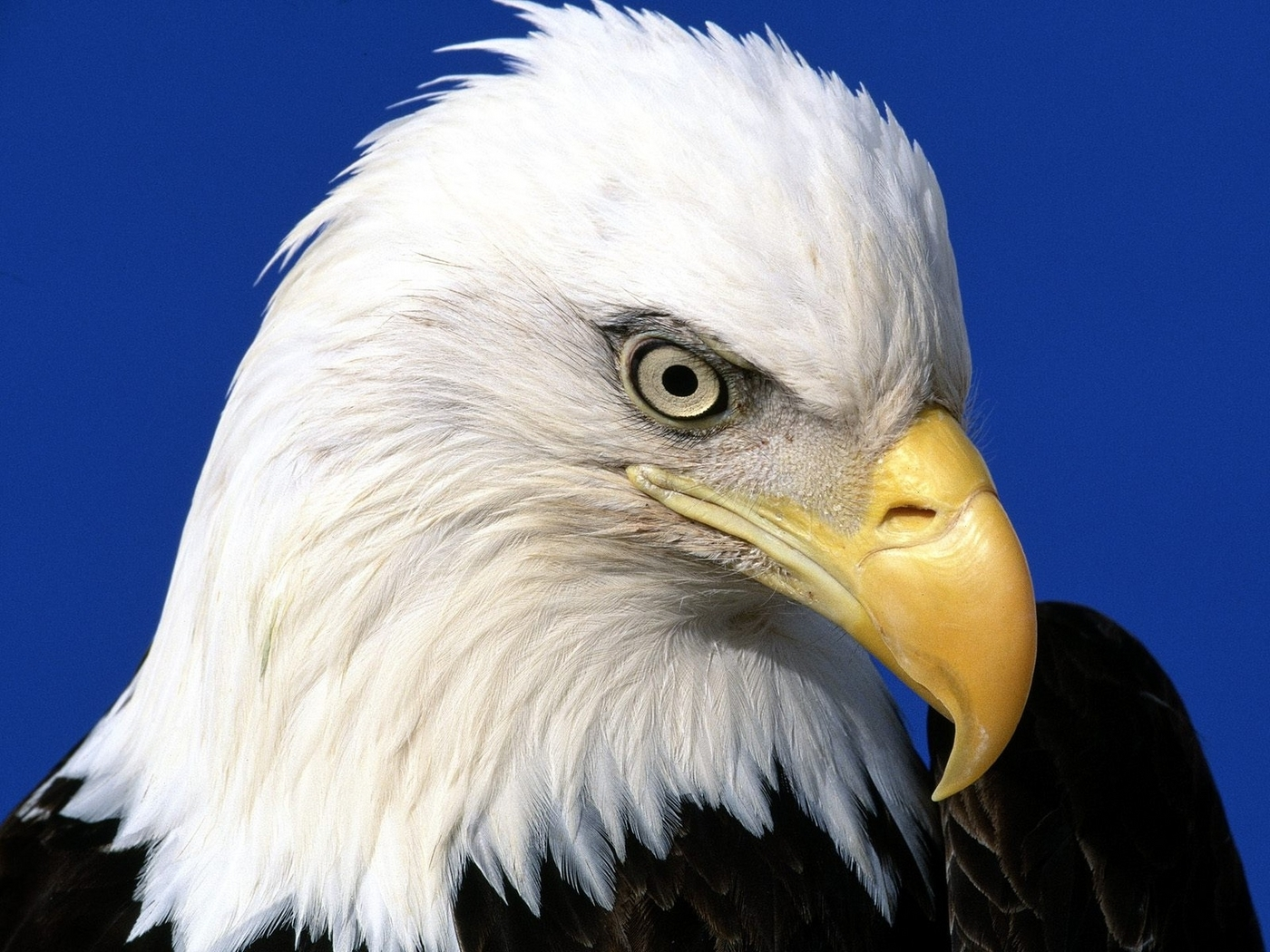 43580 download wallpaper Animals, Birds, Eagles screensavers and pictures for free