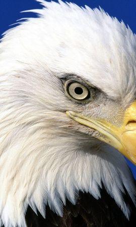 43580 baixar papel de parede Animais, Aves, Eagles - protetores de tela e imagens gratuitamente