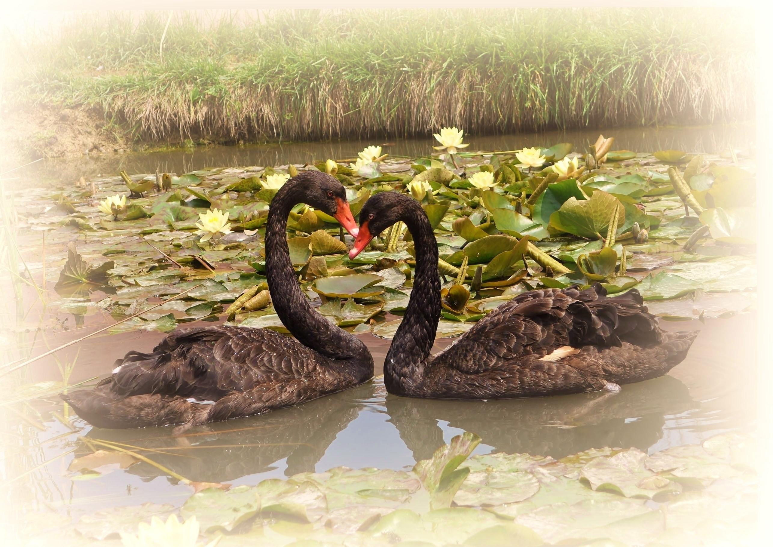 69275 Hintergrundbild herunterladen Tiere, Vögel, Swans, Seerosen, See, Paar, Treue - Bildschirmschoner und Bilder kostenlos