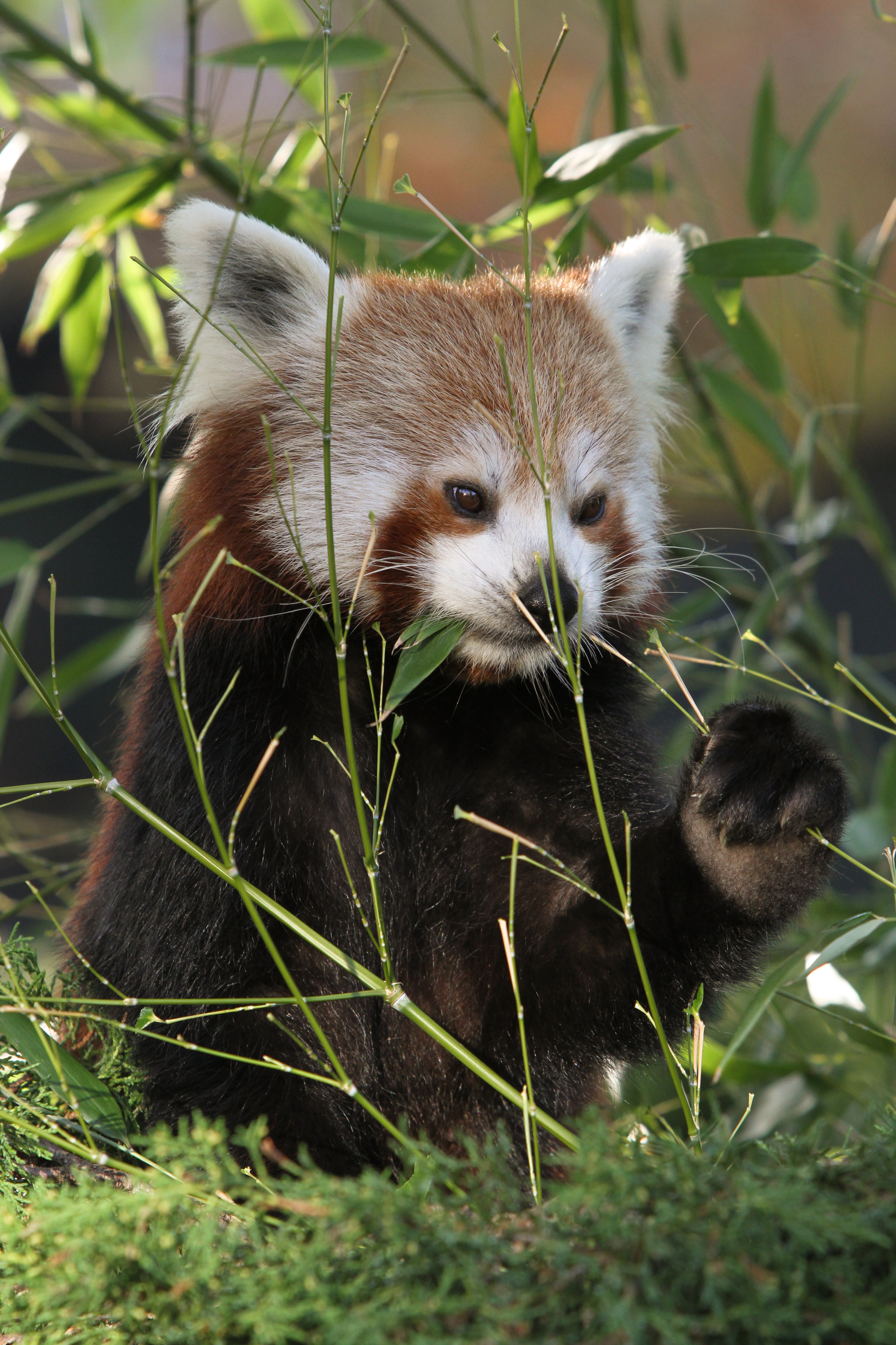 95052 download wallpaper Animals, Red Panda, Panda, Nice, Sweetheart, Grass screensavers and pictures for free