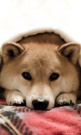 45793 baixar papel de parede Animais, Cães - protetores de tela e imagens gratuitamente