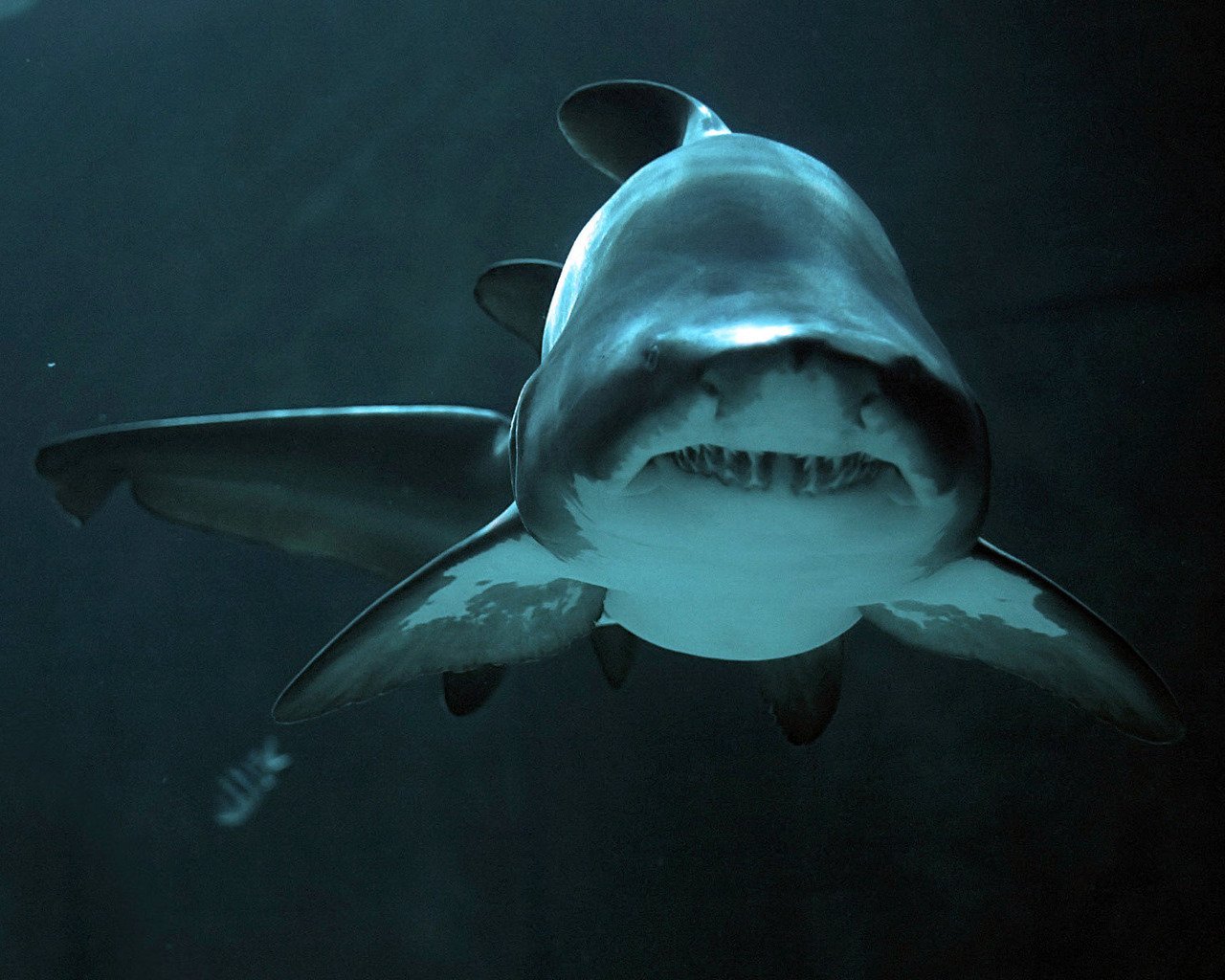 16611 download wallpaper Animals, Sea, Sharks, Fishes screensavers and pictures for free