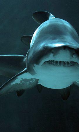 16611 baixar papel de parede Animais, Mar, Sharks, Peixes - protetores de tela e imagens gratuitamente