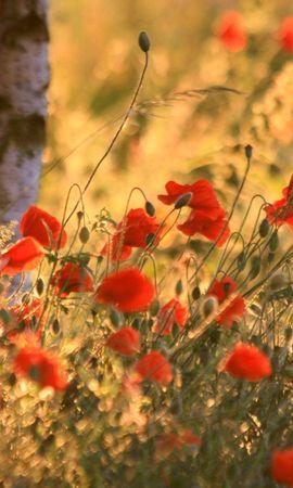 96808 скачать обои Цветы, Маки, Колосья, Лето, Размытость - заставки и картинки бесплатно