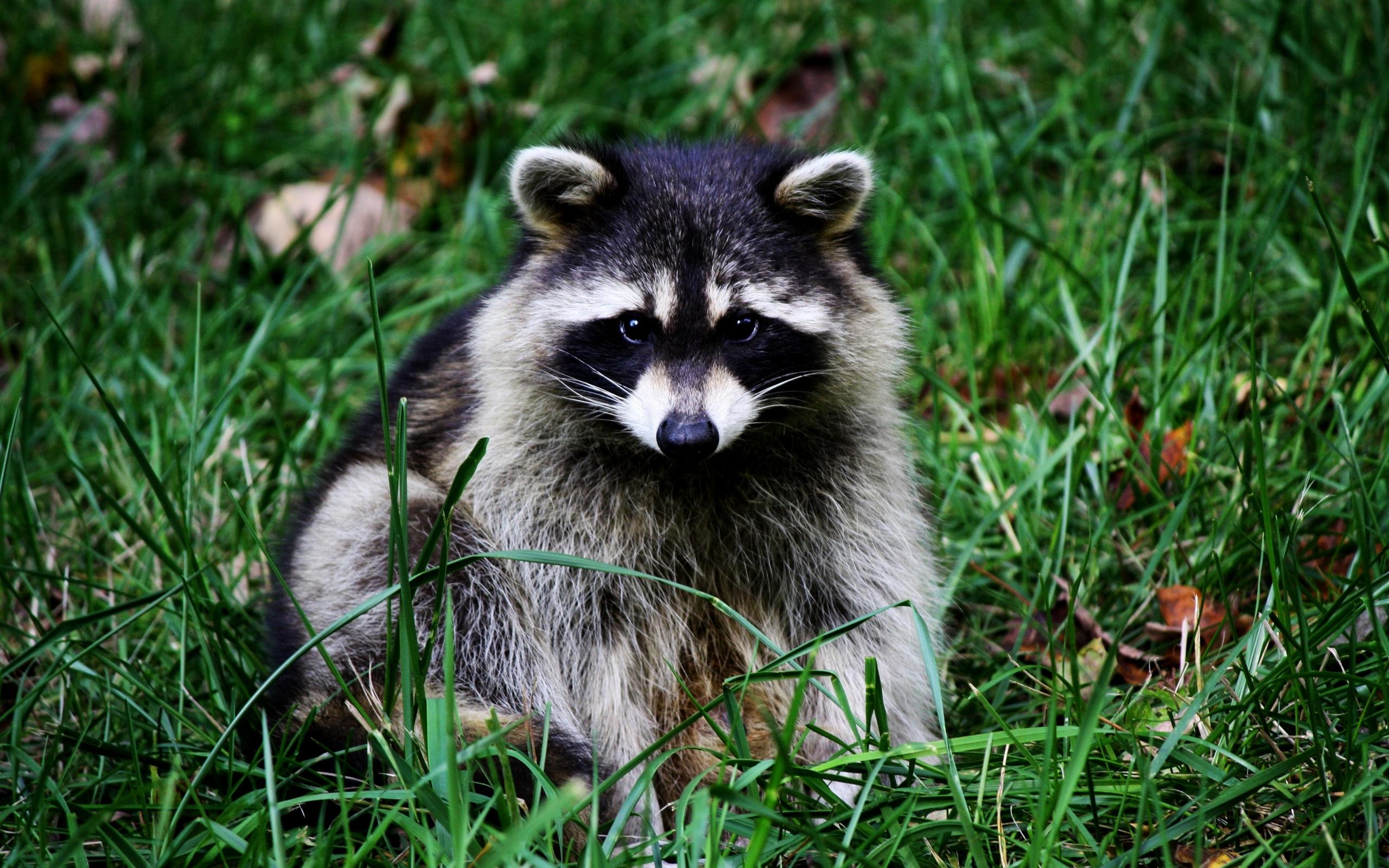 39773 Hintergrundbild herunterladen Tiere, Waschbären - Bildschirmschoner und Bilder kostenlos