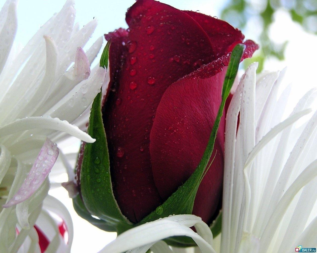 9058 скачать обои Растения, Цветы, Розы, Открытки, Капли, 8 Марта - заставки и картинки бесплатно