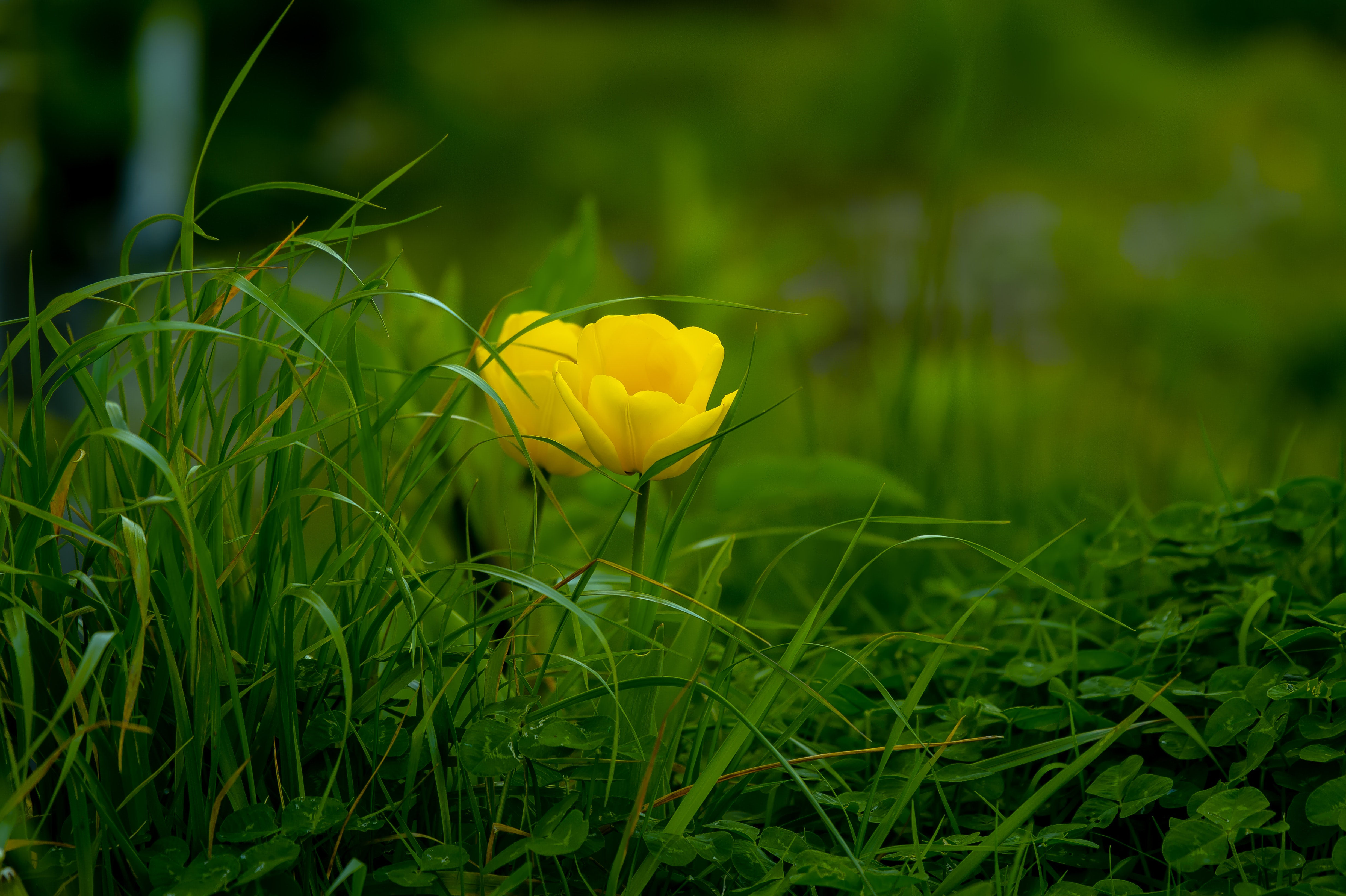 117612 download wallpaper Grass, Flowers, Bloom, Flower, Flowering, Tulip, Flora screensavers and pictures for free