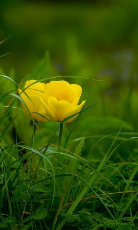 117612 Salvapantallas y fondos de pantalla Hierba en tu teléfono. Descarga imágenes de Flores, Tulipán, Hierba, Flor, Flora, Florecer, Floración gratis