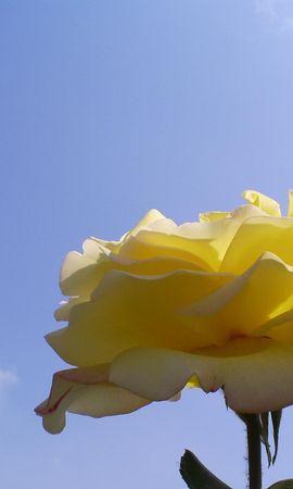 2432 скачать обои Растения, Цветы, Розы - заставки и картинки бесплатно