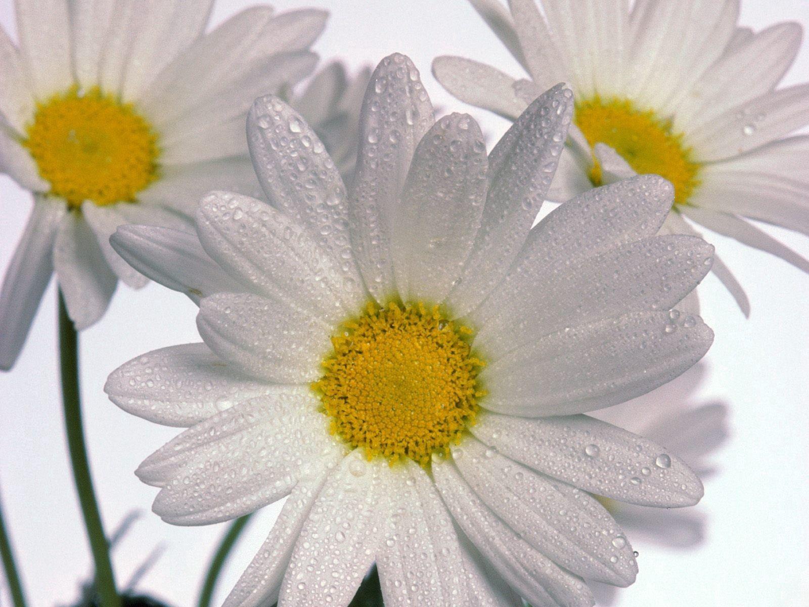 109034 скачать обои Ромашки, Цветы, Капли, Крупный План, Три - заставки и картинки бесплатно