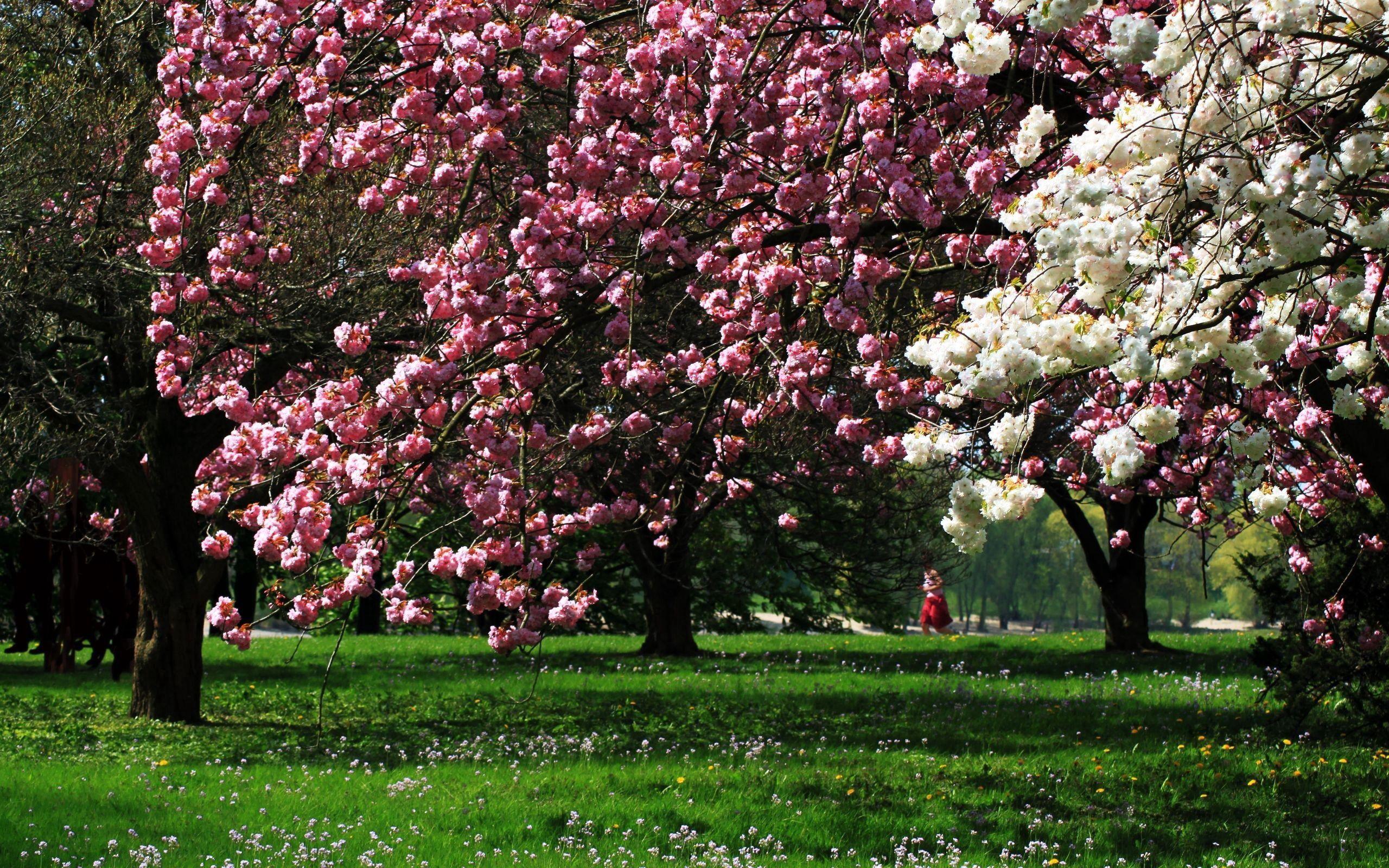 87209壁紙のダウンロード自然, 公園, 咲く, 開花, 木, 草-スクリーンセーバーと写真を無料で
