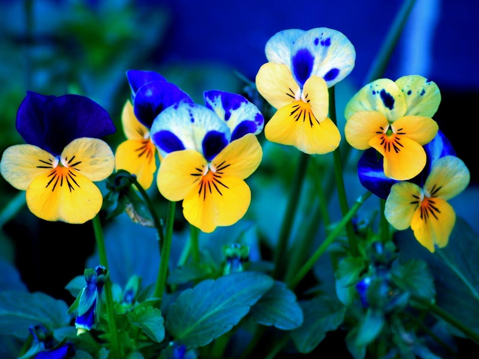 644 Hintergrundbild herunterladen Blumen, Pflanzen, Stiefmütterchen - Bildschirmschoner und Bilder kostenlos