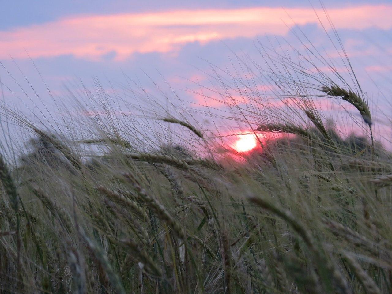 22593 скачать обои Пейзаж, Закат, Поля, Пшеница - заставки и картинки бесплатно