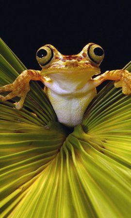 1164 baixar papel de parede Animais, Frogs - protetores de tela e imagens gratuitamente