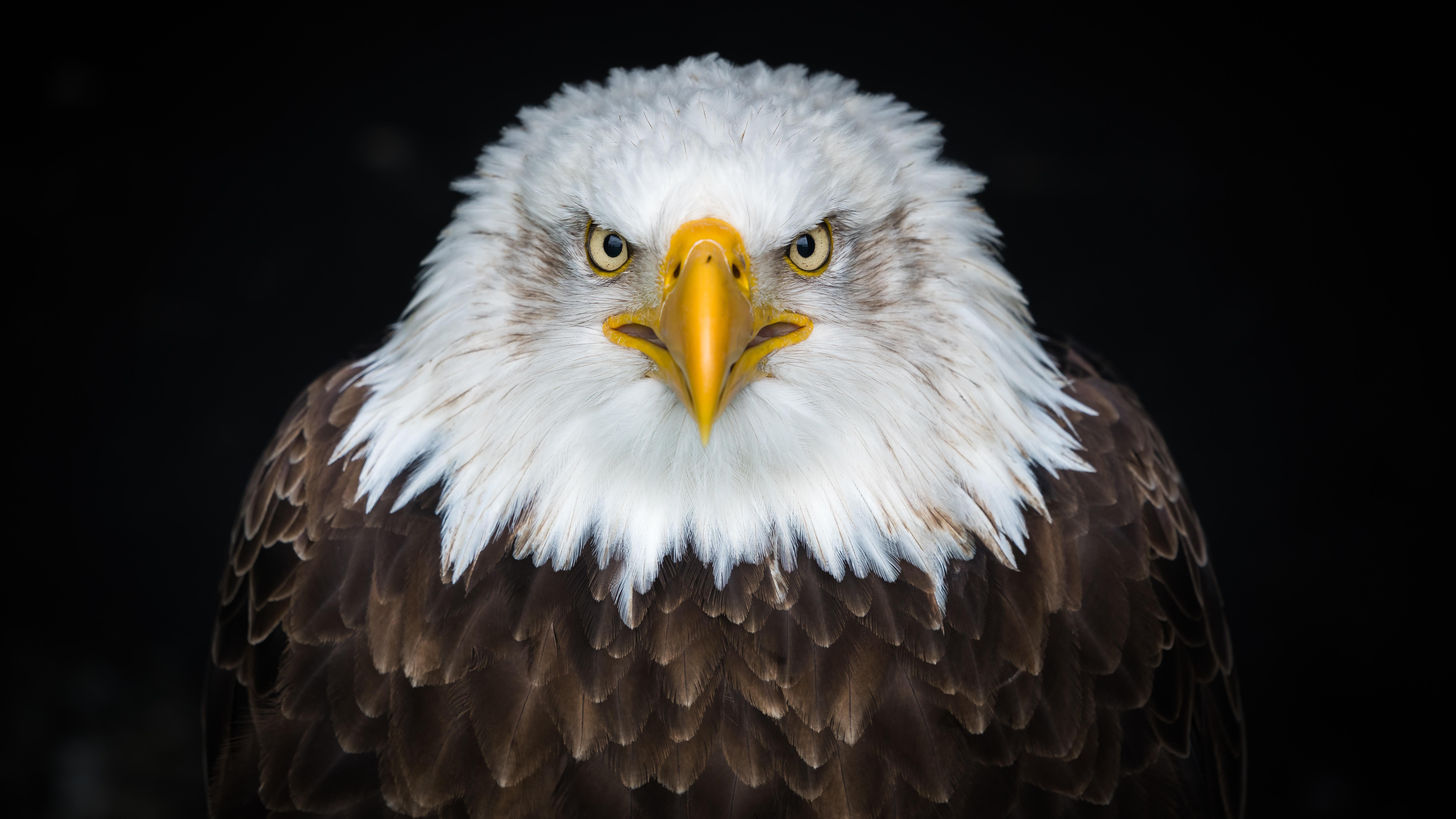 153756 descargar fondo de pantalla Animales, Águila Calva, Águila Cabeciblanca, Águila, Pájaro, Depredador: protectores de pantalla e imágenes gratis