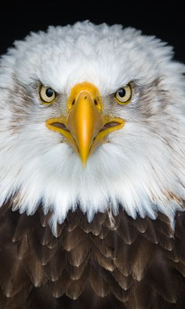 153756 download wallpaper Animals, Bald Eagle, White-Headed Eagle, Eagle, Bird, Predator screensavers and pictures for free