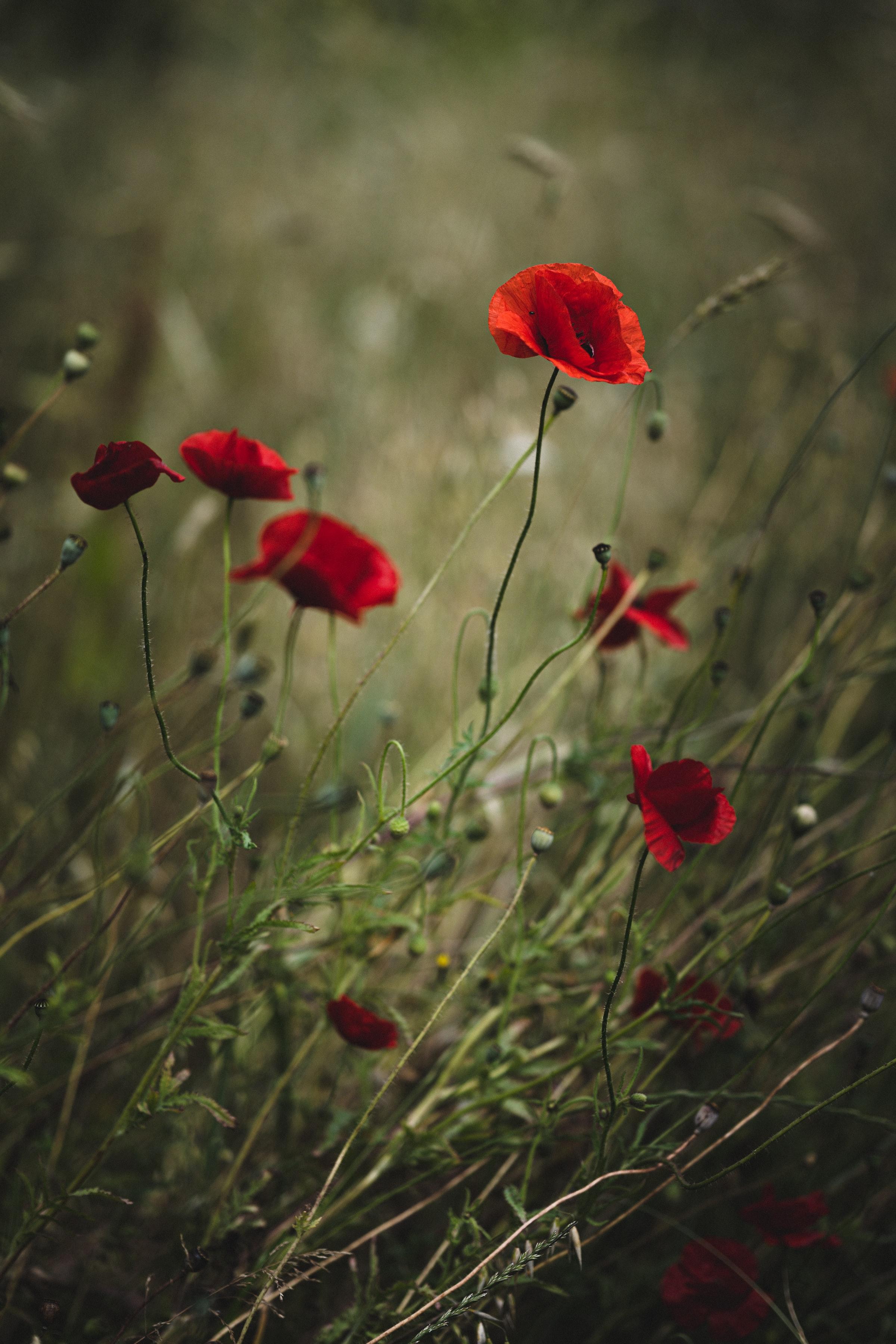 130411 скачать обои Цветы, Маки, Растение, Красный, Дикий - заставки и картинки бесплатно