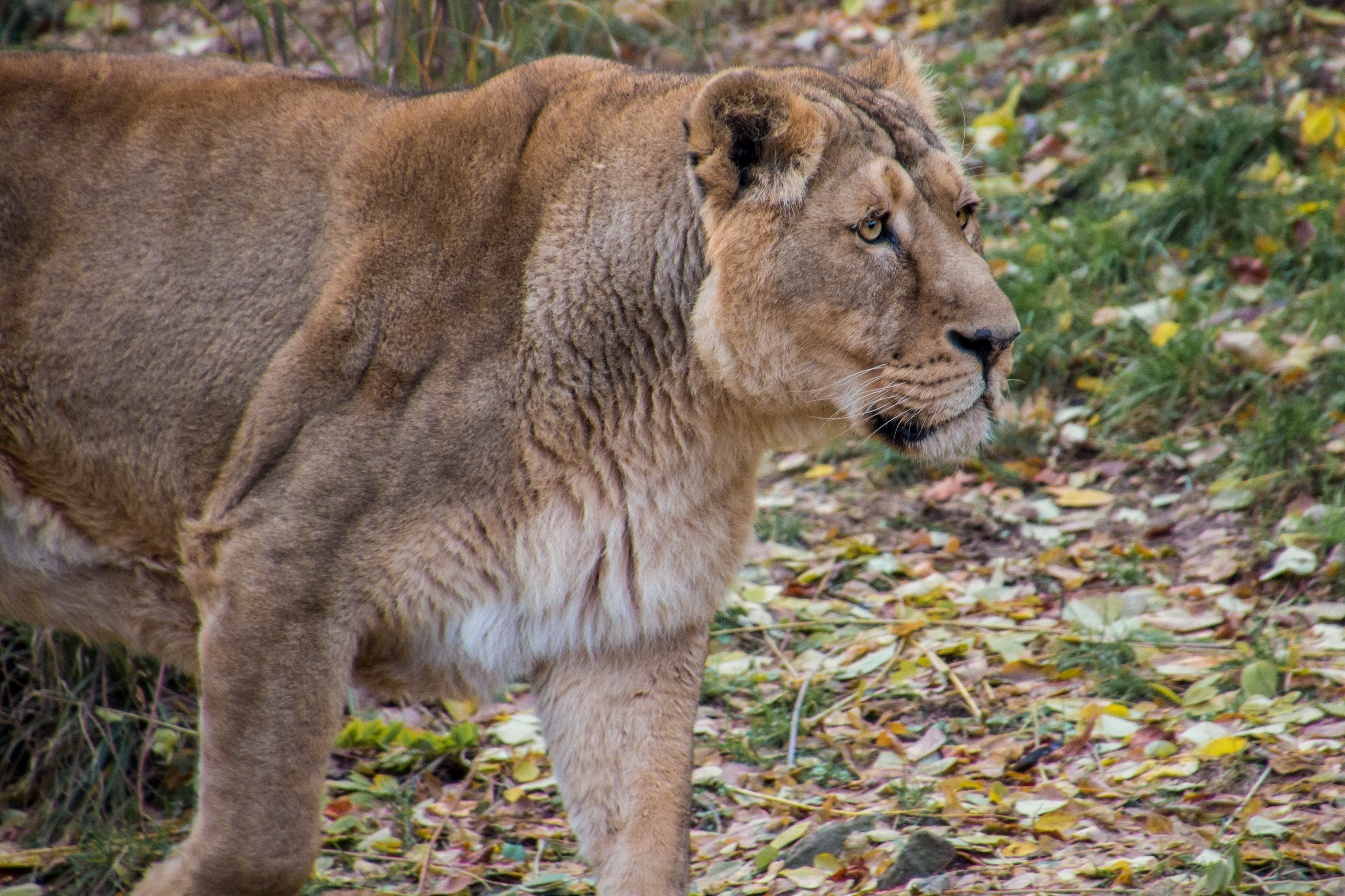 82029 download wallpaper Animals, Lioness, Lion, Predator, Big Cat, Young screensavers and pictures for free