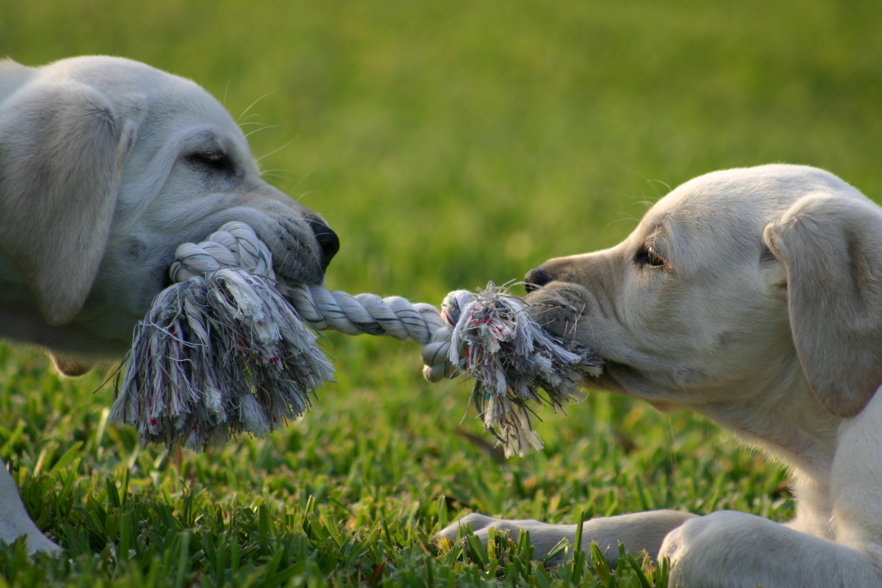 80504 download wallpaper Animals, Puppies, Couple, Pair, Rope, Tug, Dragging screensavers and pictures for free