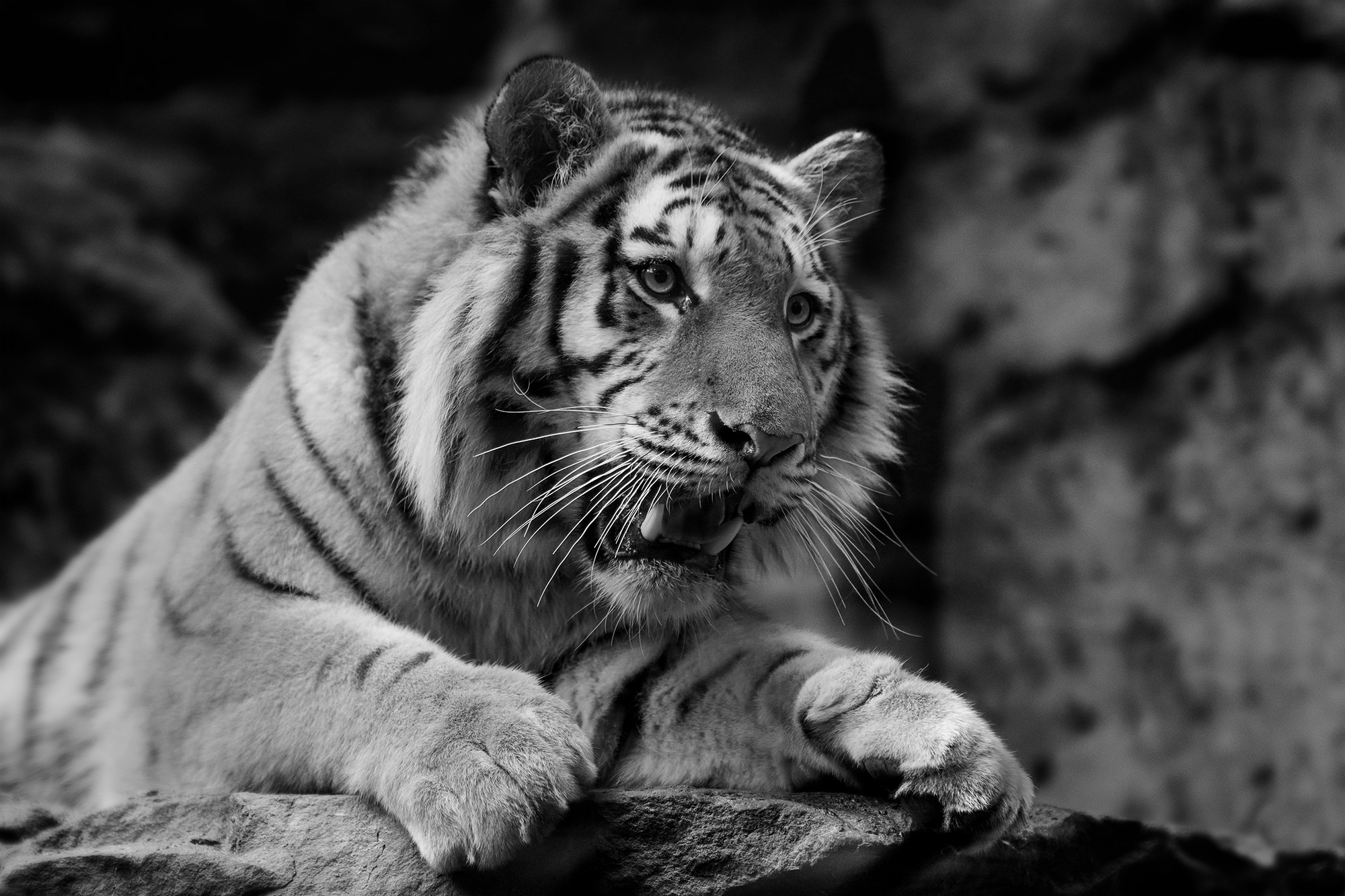 83743 free wallpaper 720x1280 for phone, download images Animals, Muzzle, Predator, Tiger, Wild Cat, Wildcat 720x1280 for mobile