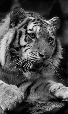 83743 免費下載壁紙 动物, 老虎, 虎, 野猫, 捕食者, 枪口, 莫尔达 屏保和圖片
