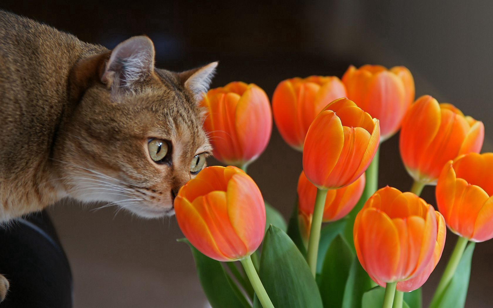 88483 download wallpaper Animals, Cat, Muzzle, Curiosity, Tulips screensavers and pictures for free