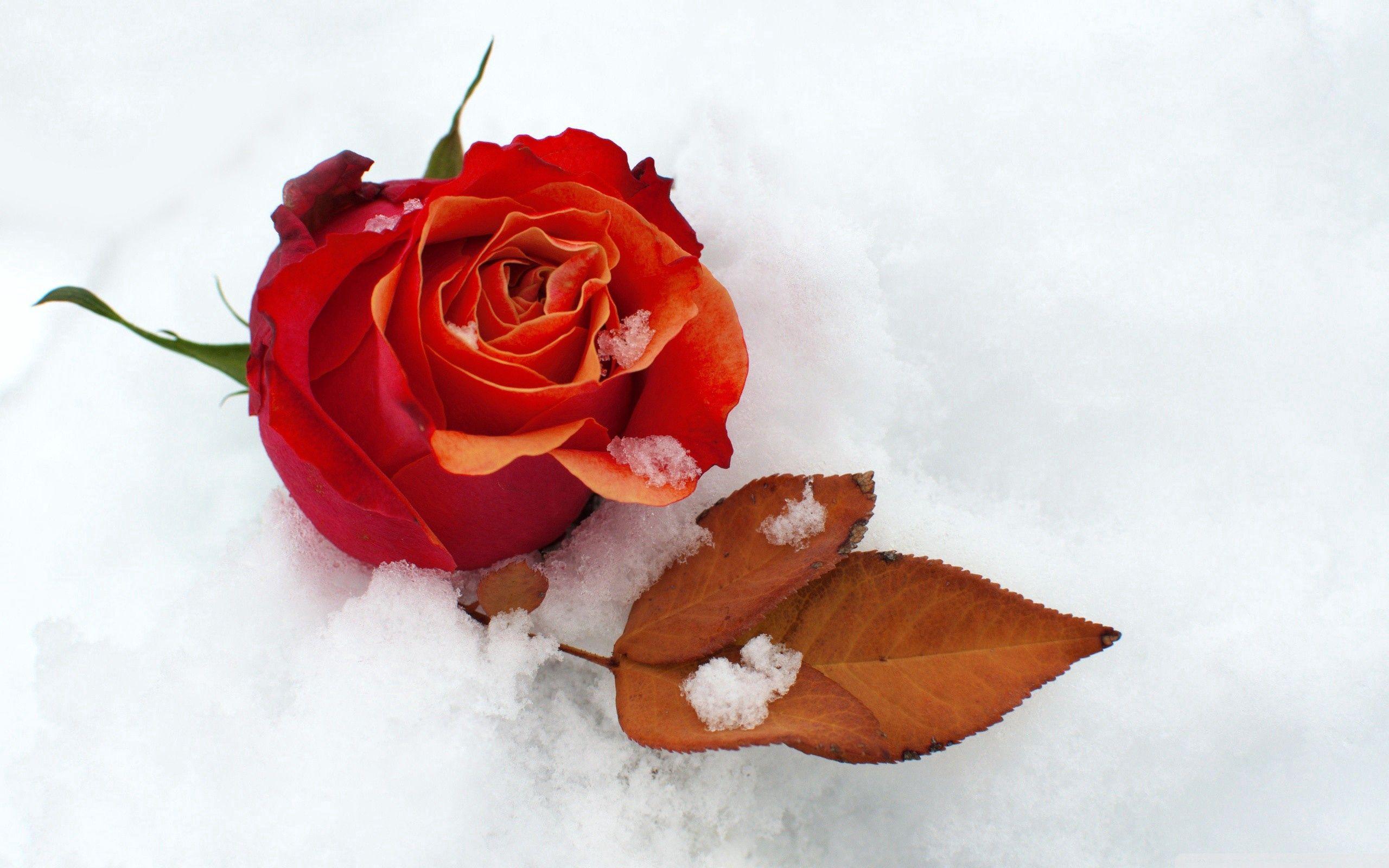 100862 скачать обои Цветы, Роза, Цветок, Бутон, Листок, Снег, Холод - заставки и картинки бесплатно