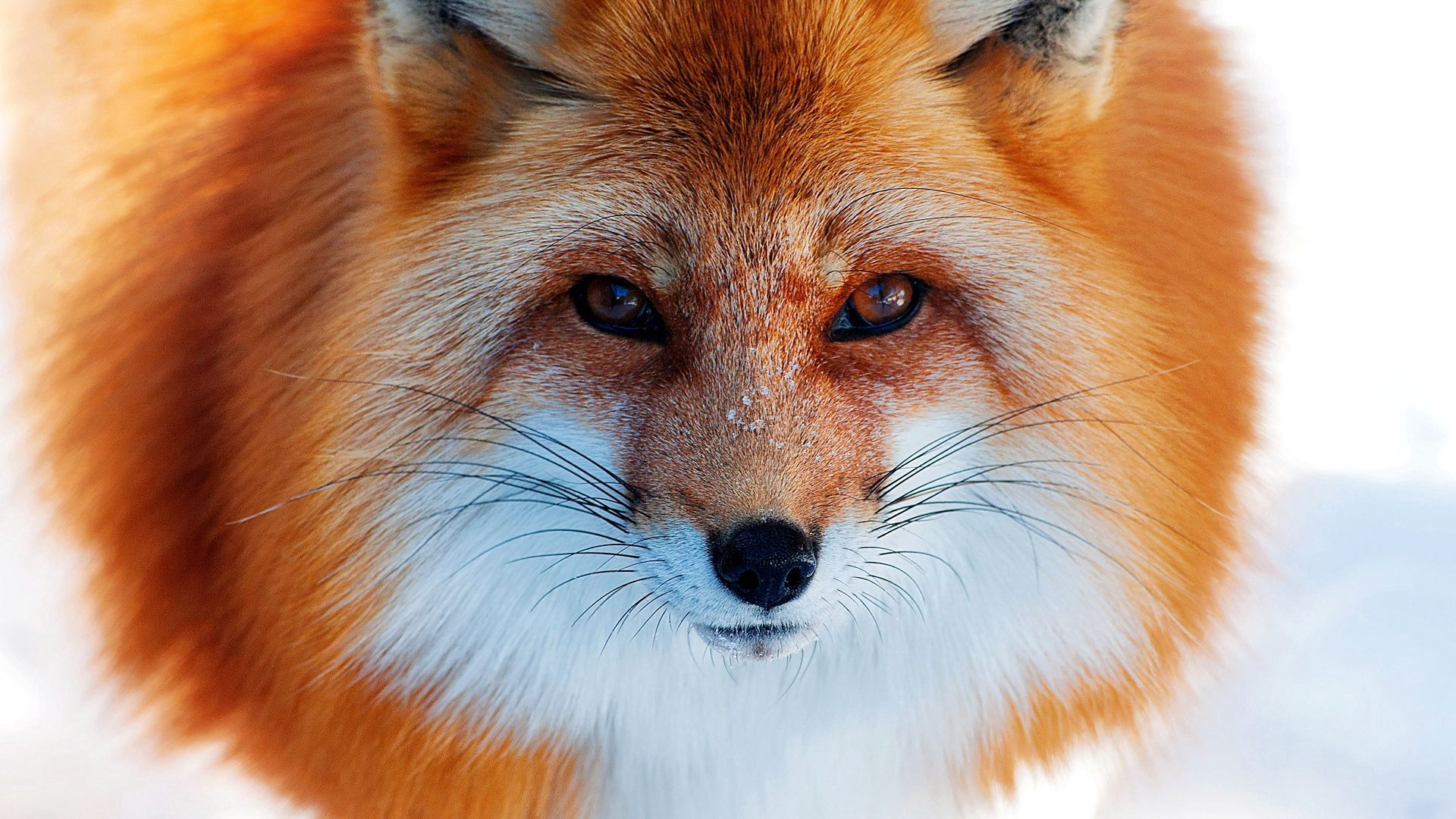 144665 download wallpaper Animals, Redhead, Winter, Fox, Nose, Snow screensavers and pictures for free