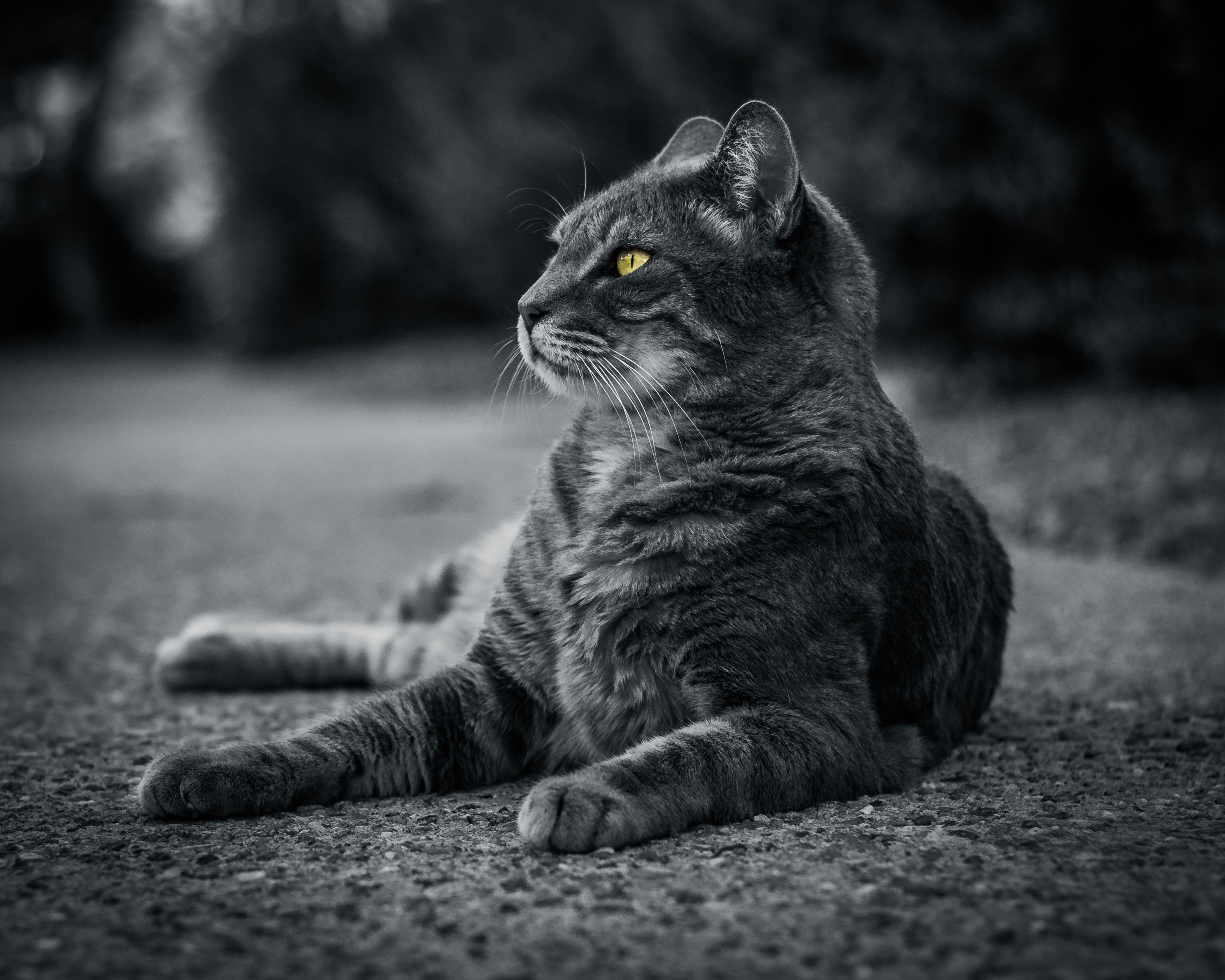 141203 download wallpaper Animals, Cat, Lies, Grey, Bw, Chb screensavers and pictures for free