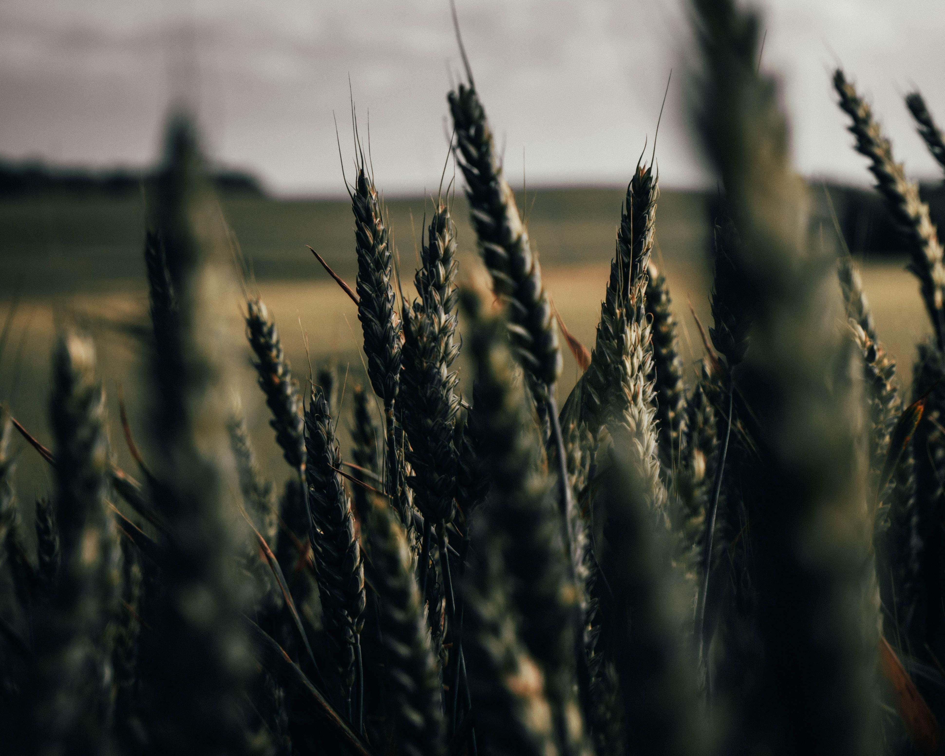 150033 скачать обои Макро, Колоски, Поле, Растения, Злаки, Пшеница - заставки и картинки бесплатно