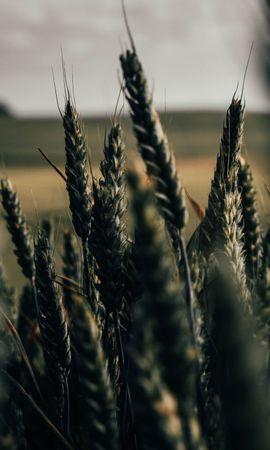 150033 descargar fondo de pantalla Macro, Espiguillas, Conos, Campo, Plantas, Cereales, Trigo: protectores de pantalla e imágenes gratis