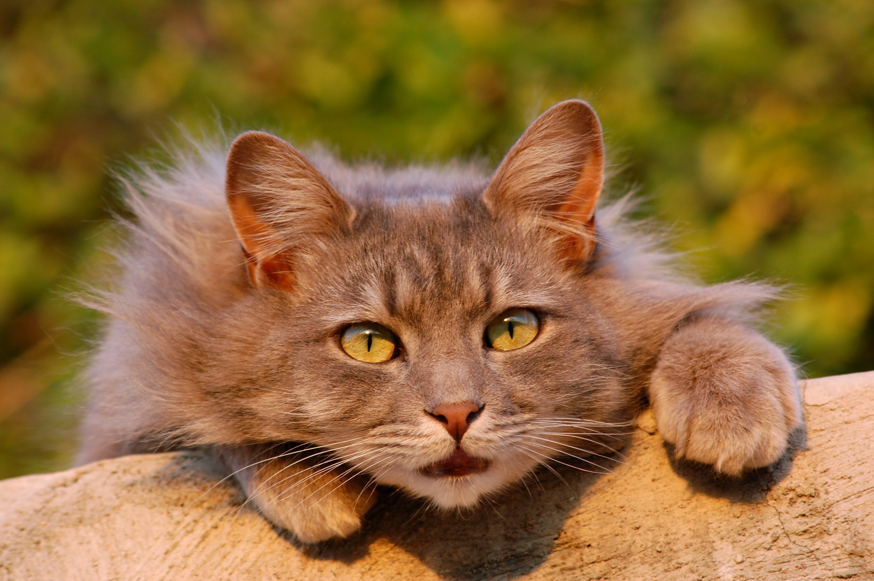 120689 Screensavers and Wallpapers Fluffy for phone. Download Animals, Cat, Fluffy, Sight, Opinion, Surprise, Astonishment pictures for free