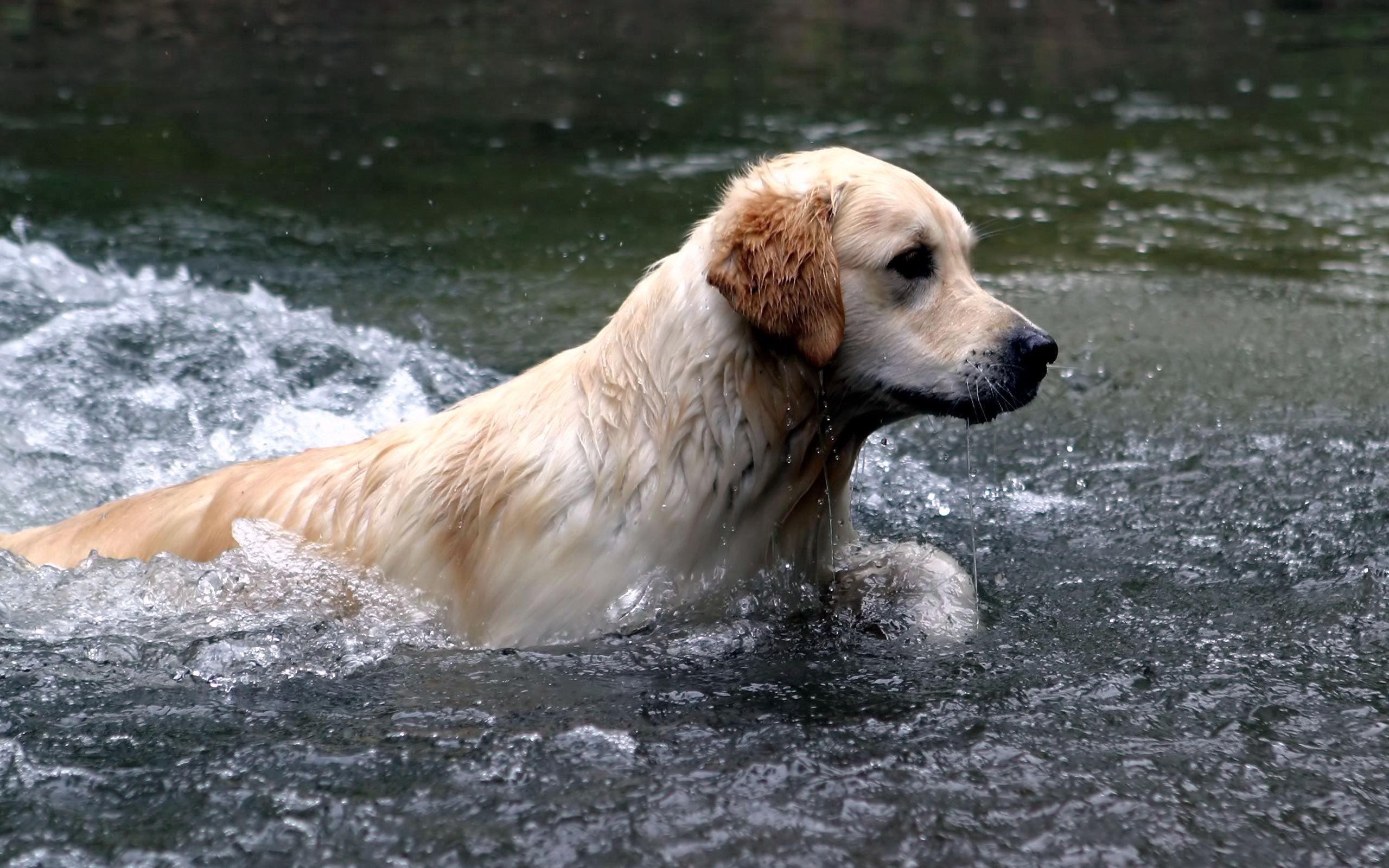 56714 download wallpaper Animals, Dog, Labrador, Water, Spray, To Swim, Swim screensavers and pictures for free