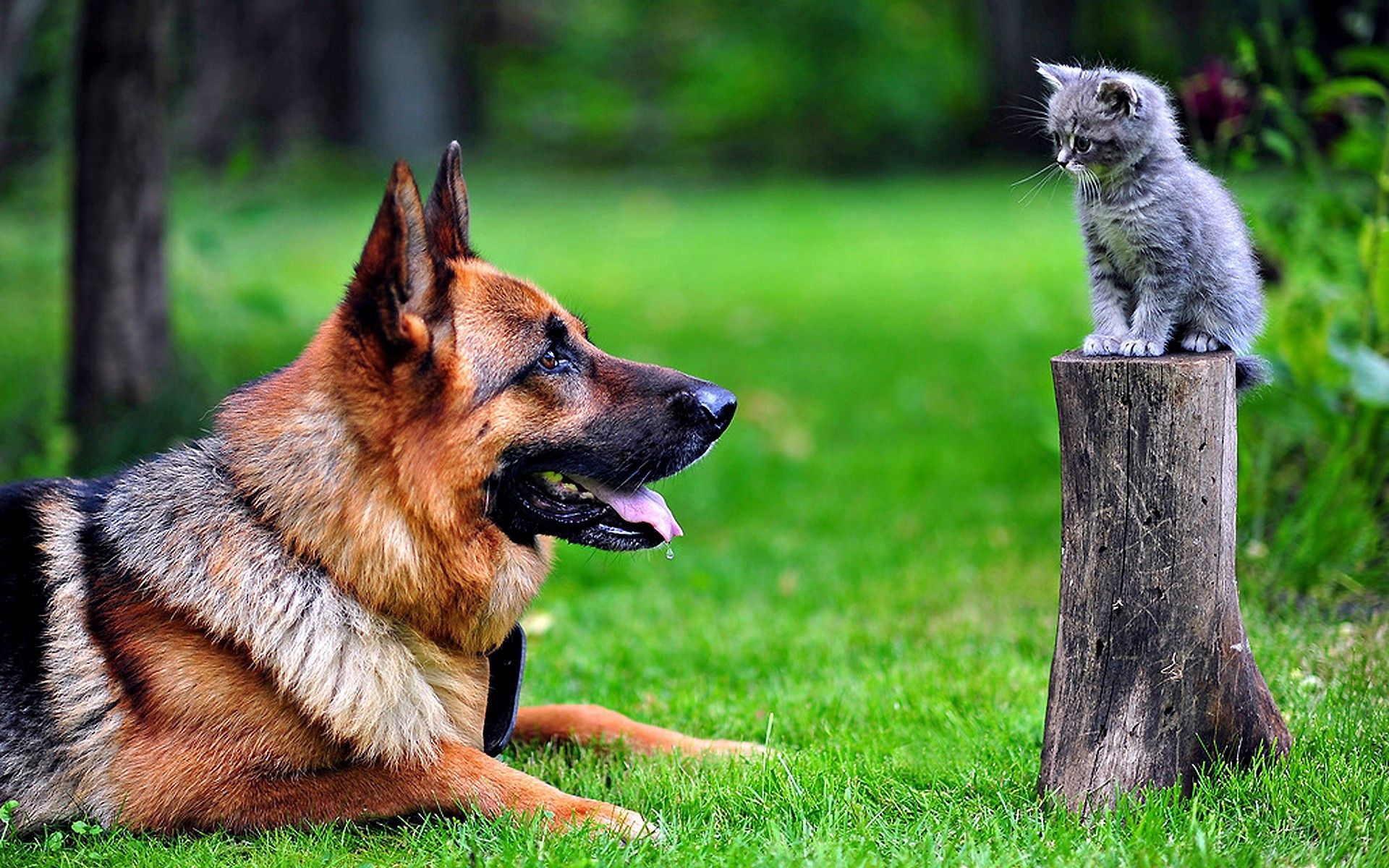 81804 Screensavers and Wallpapers Kitten for phone. Download Animals, Grass, Kitty, Kitten, Dog, German Shepherd pictures for free
