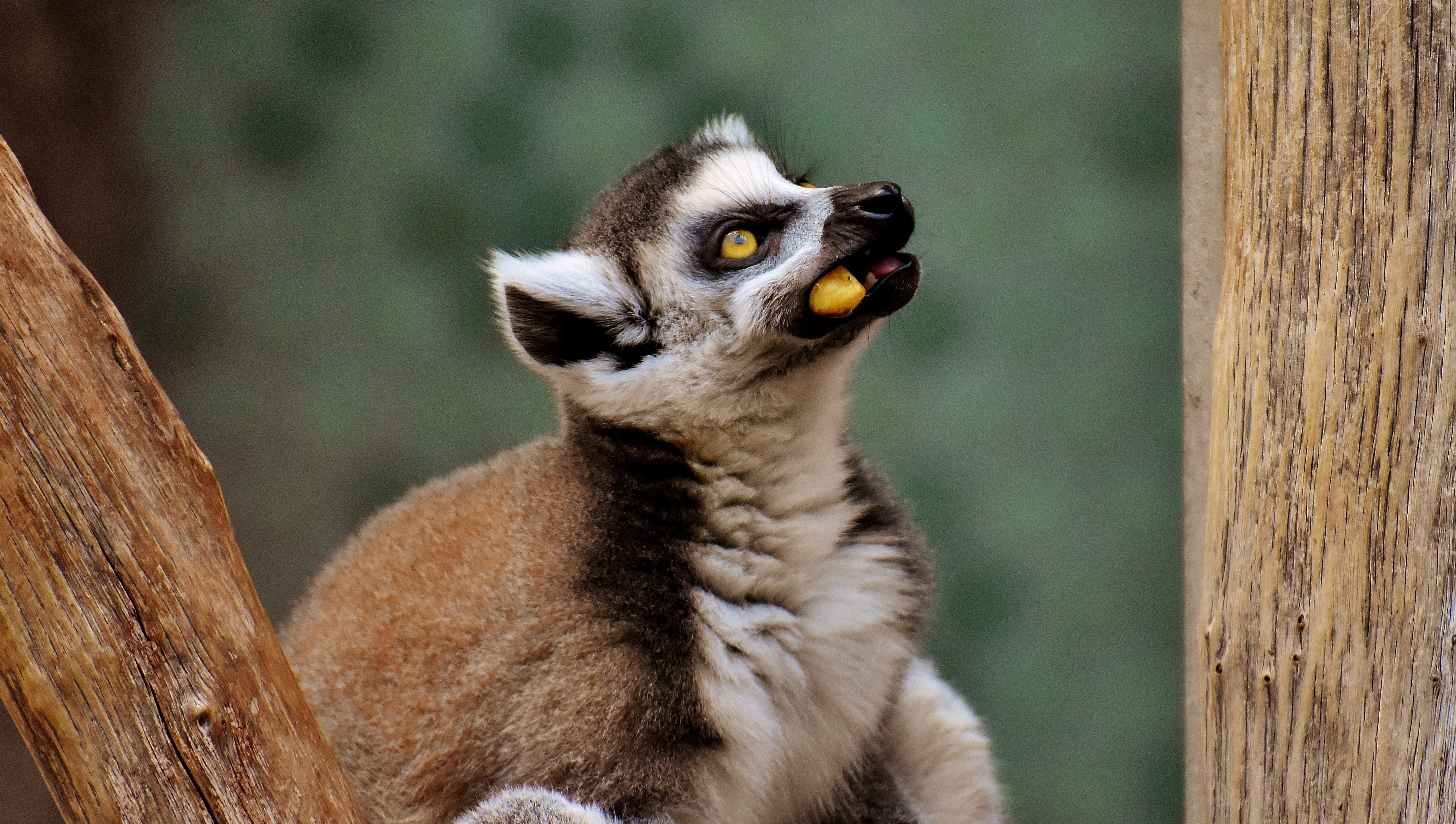 113417 download wallpaper Animals, Lemur, Muzzle, Sight, Opinion, Food screensavers and pictures for free