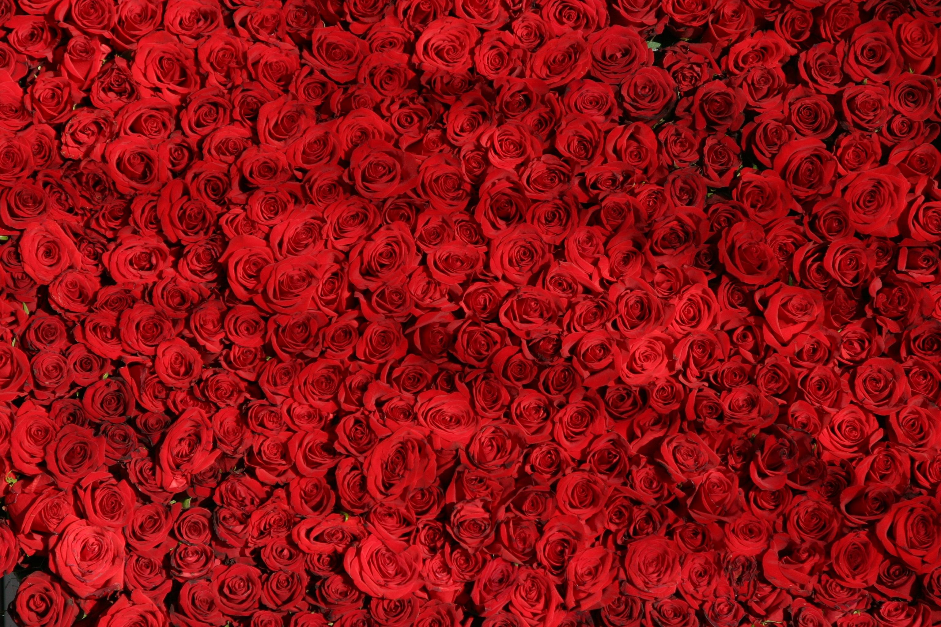 129141 скачать обои Цветы, Много, Бутоны, Розы - заставки и картинки бесплатно