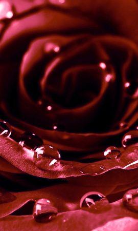 24255 télécharger le fond d'écran Plantes, Fleurs, Roses, Drops - économiseurs d'écran et images gratuitement