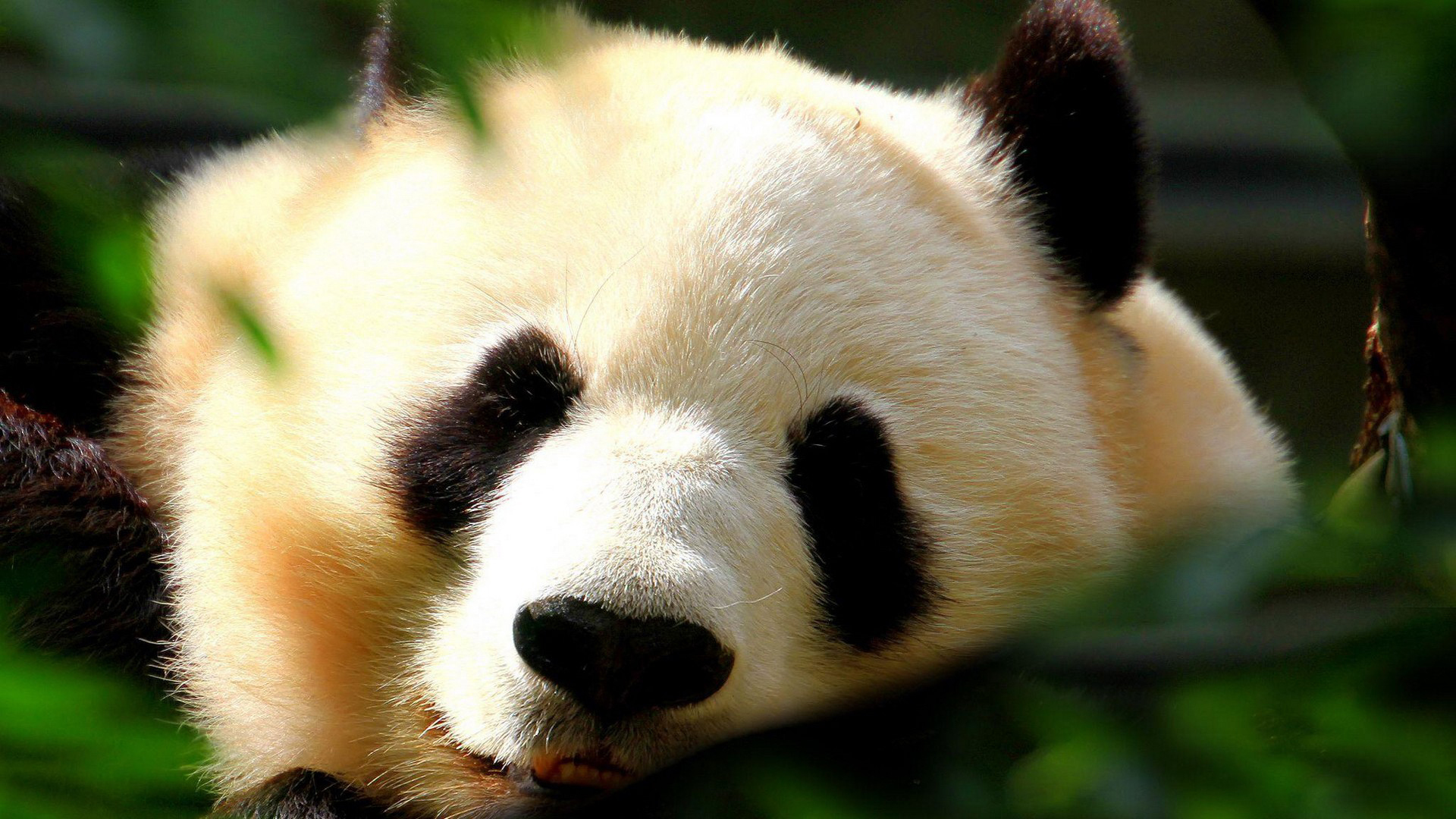44385 download wallpaper Animals, Pandas screensavers and pictures for free