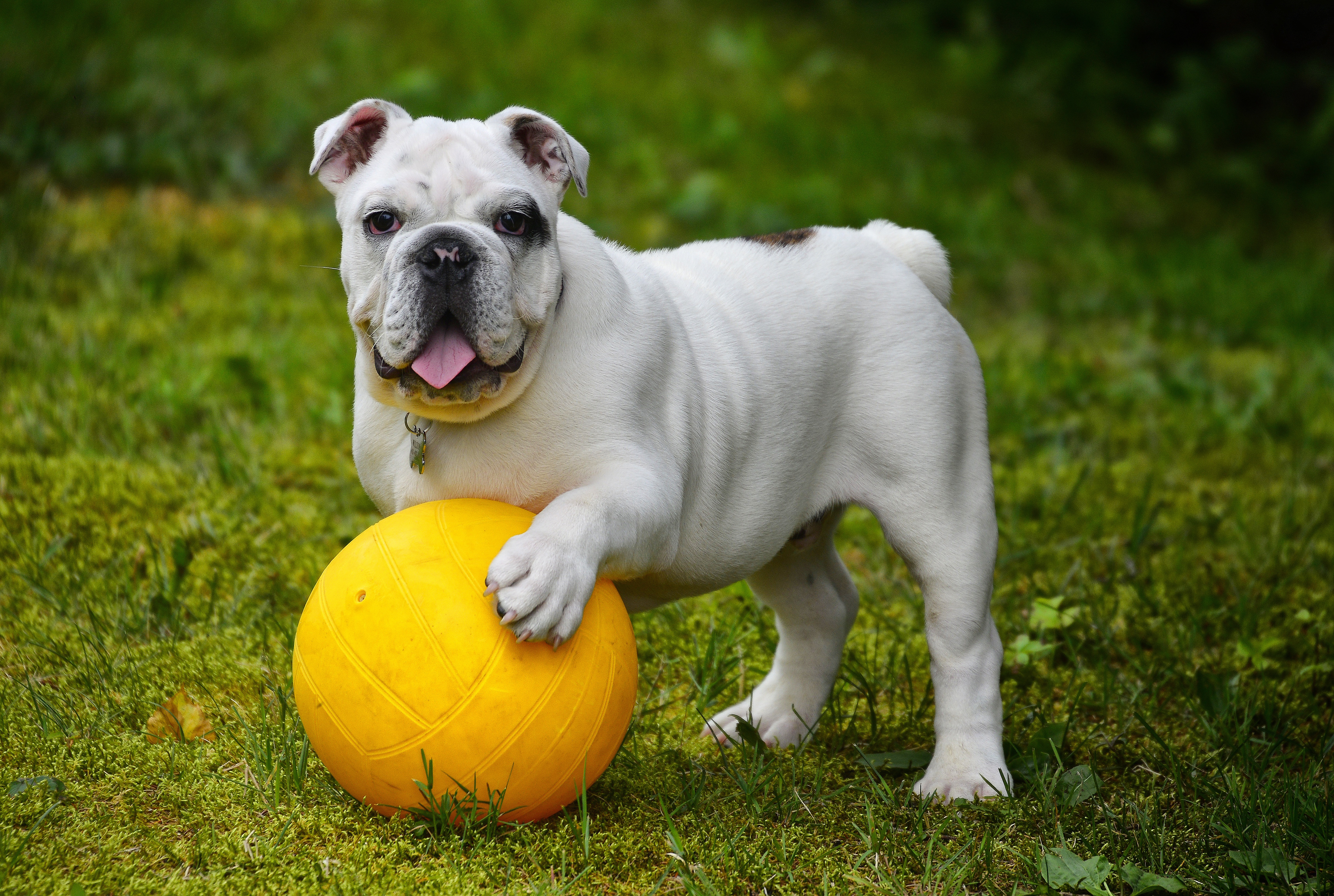 86057 download wallpaper Animals, Bulldog, Dog, Ball, Protruding Tongue, Tongue Stuck Out, Funny screensavers and pictures for free