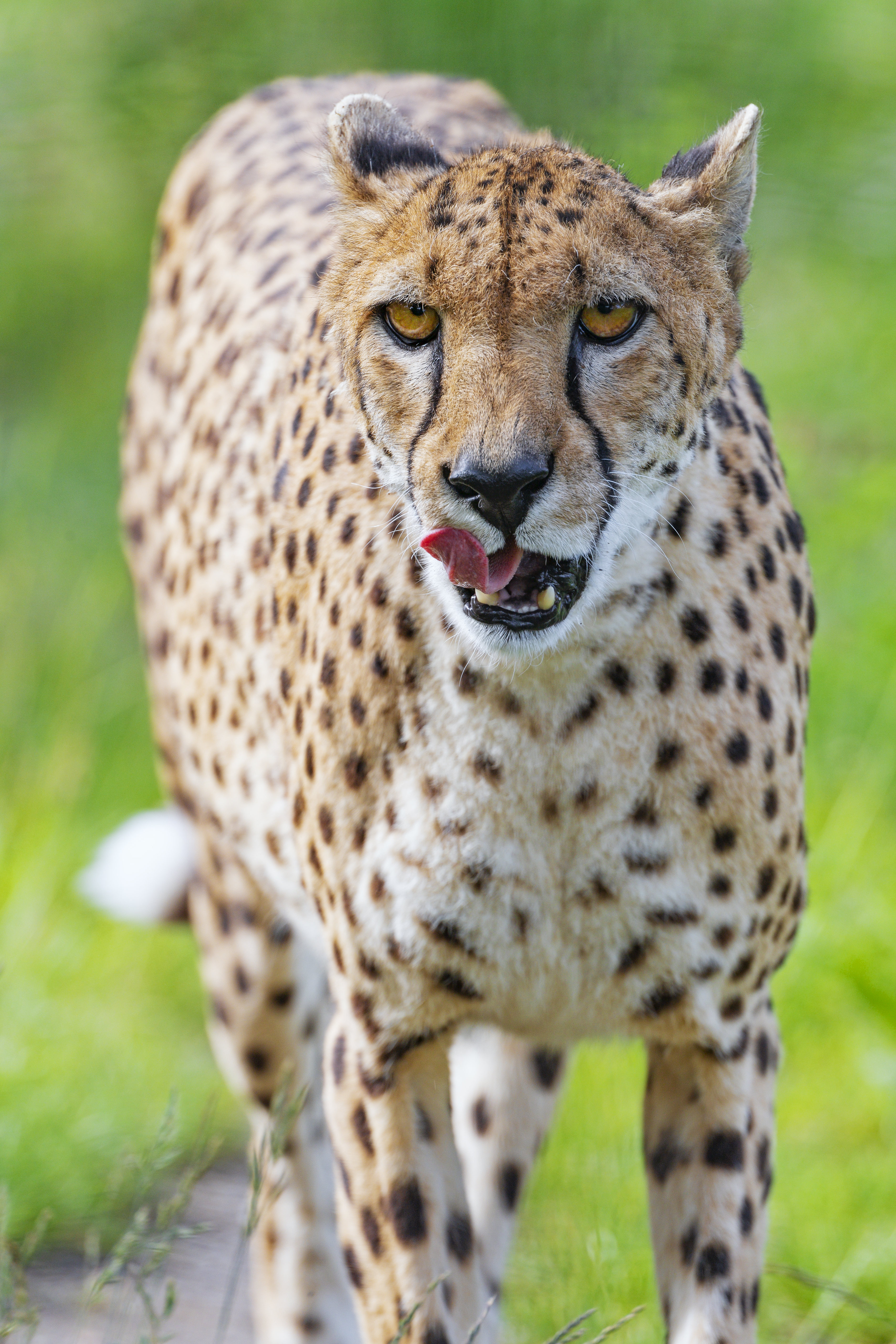 96649 download wallpaper Animals, Cheetah, Big Cat, Protruding Tongue, Tongue Stuck Out, Sight, Opinion, Predator, Stains, Spots screensavers and pictures for free