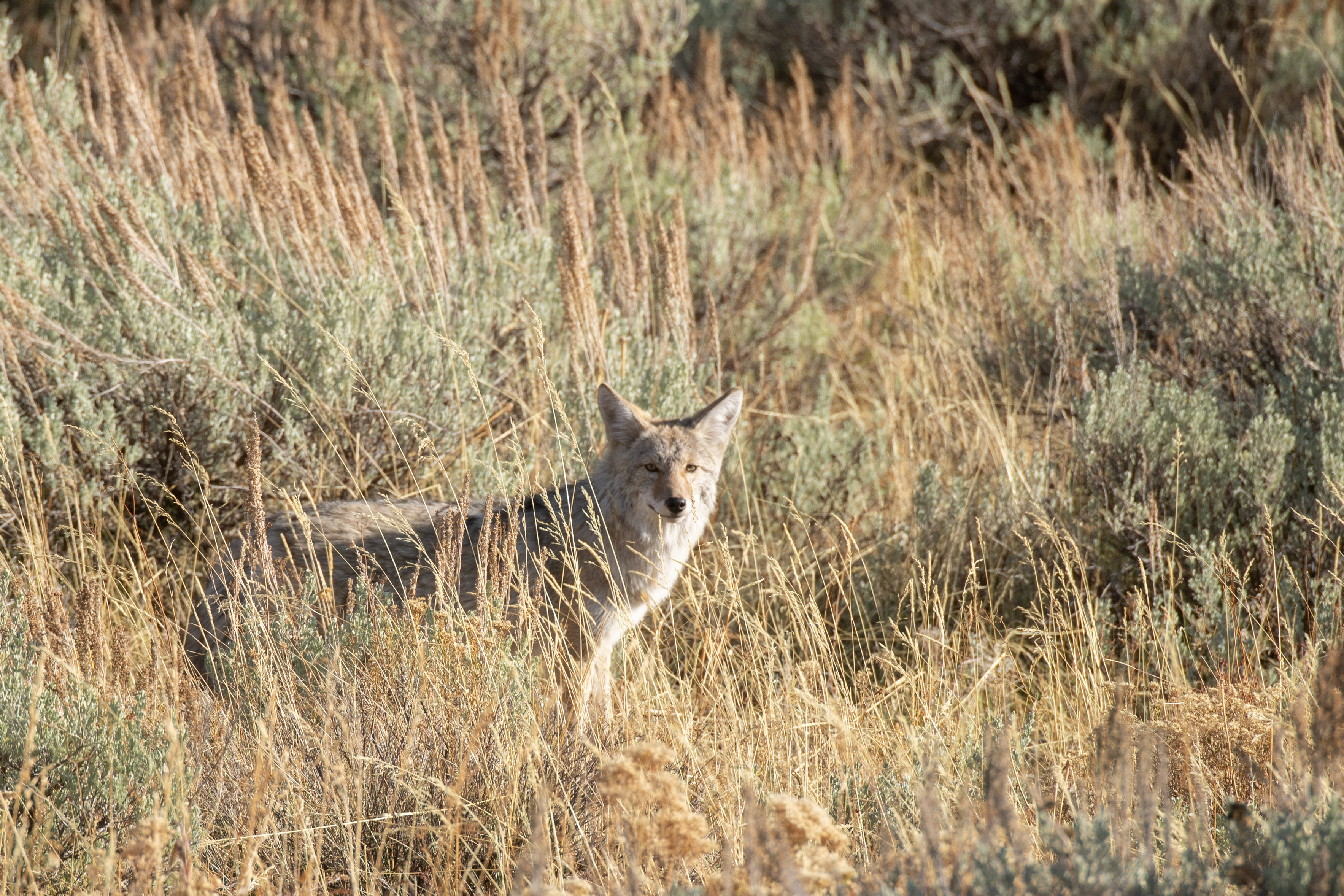 60092 download wallpaper Animals, Coyote, Animal, Grey, Grass, Wildlife screensavers and pictures for free