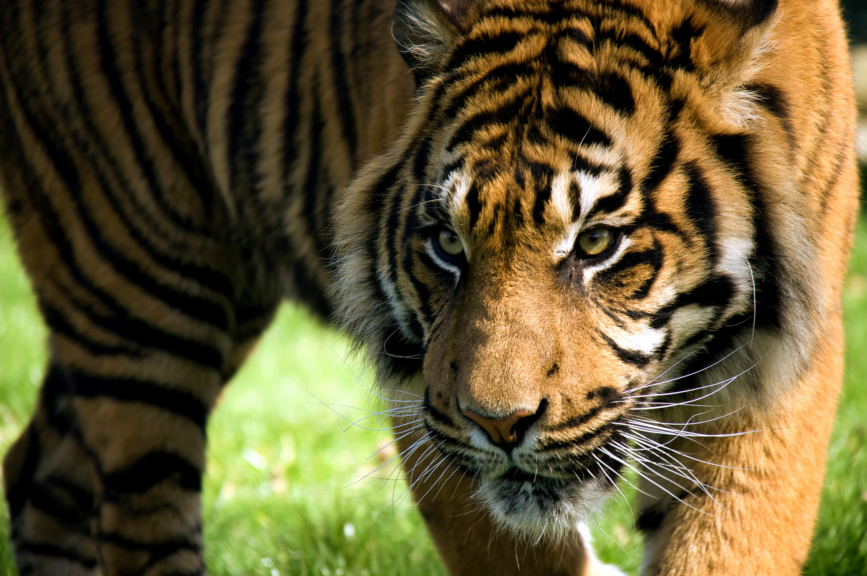132082 download wallpaper Animals, Tiger, Muzzle, Predator, Striped, Big Cat screensavers and pictures for free